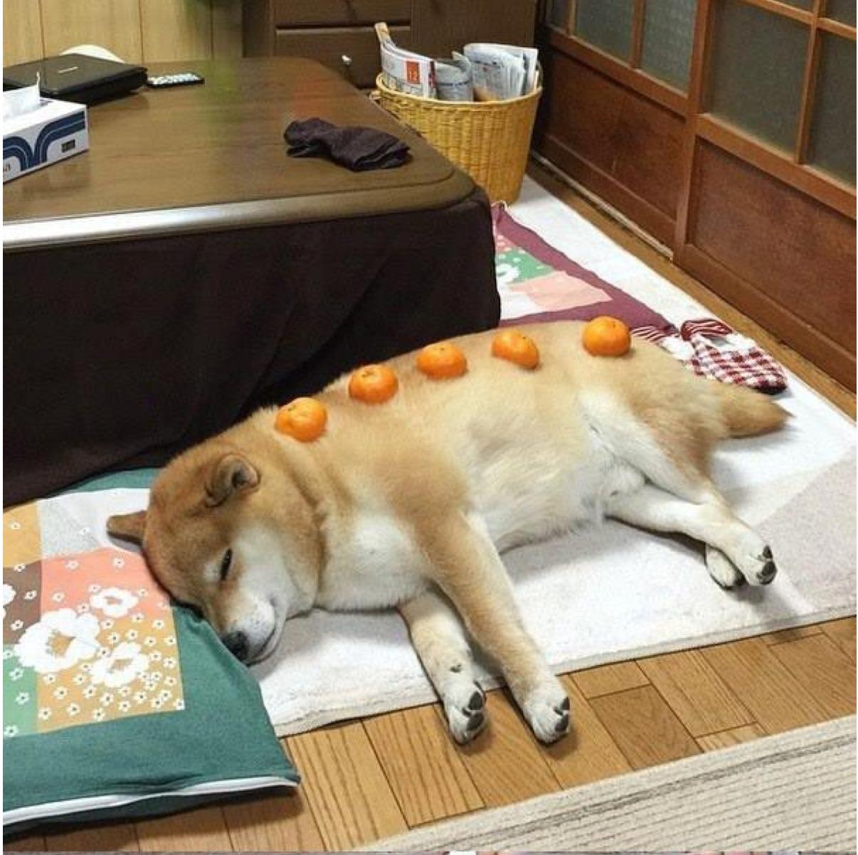 柴犬の画像 p1_21