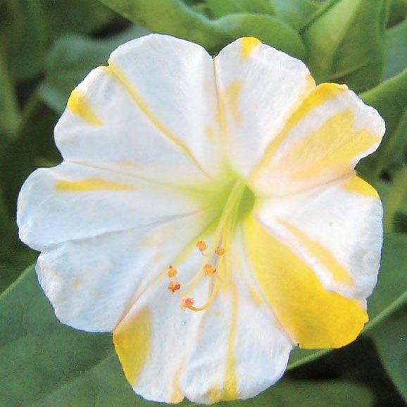オシロイバナの画像 p1_8