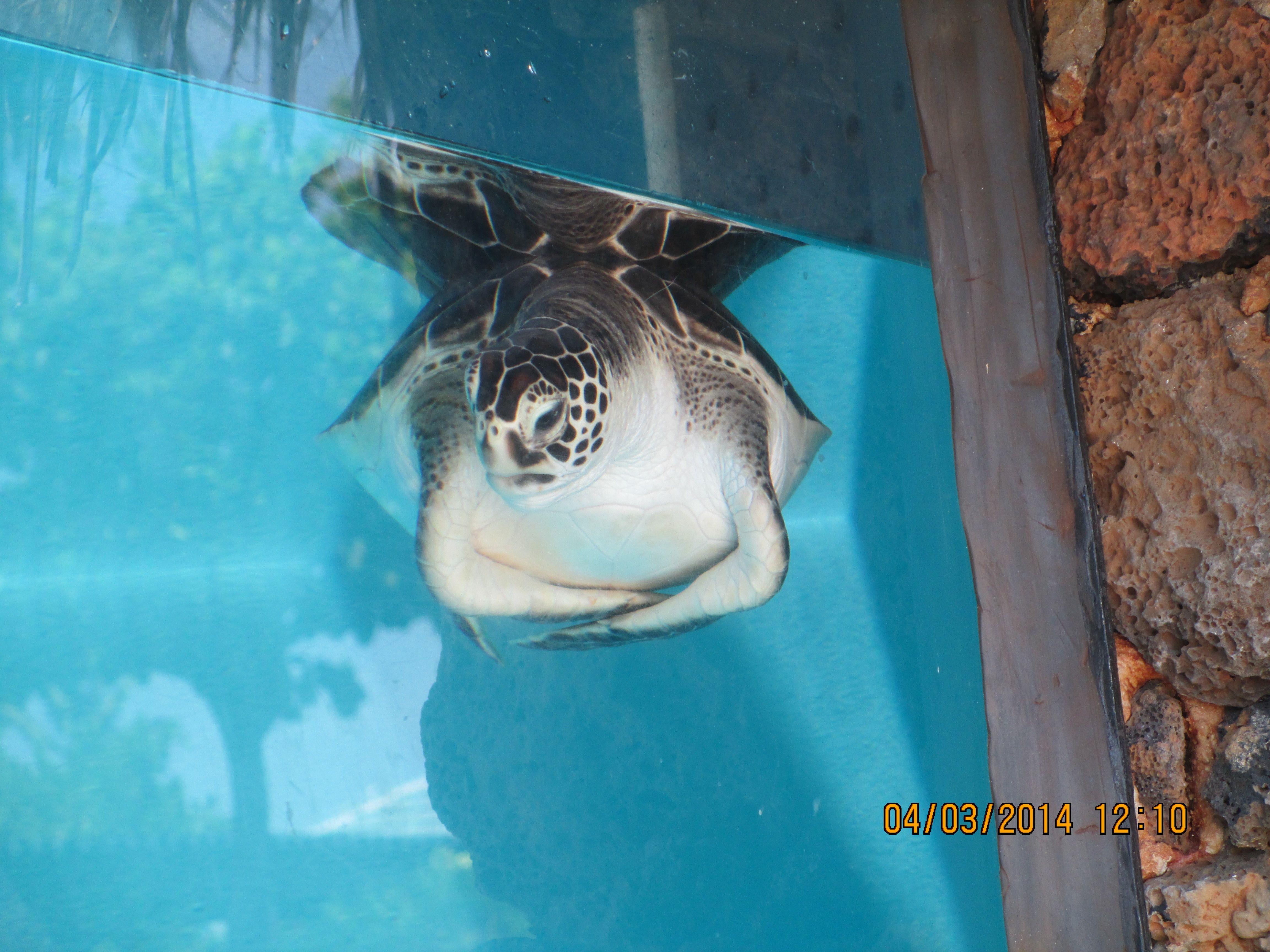 Baby turtle at Maui Aquarium Favorite Places & Spaces Pinterest