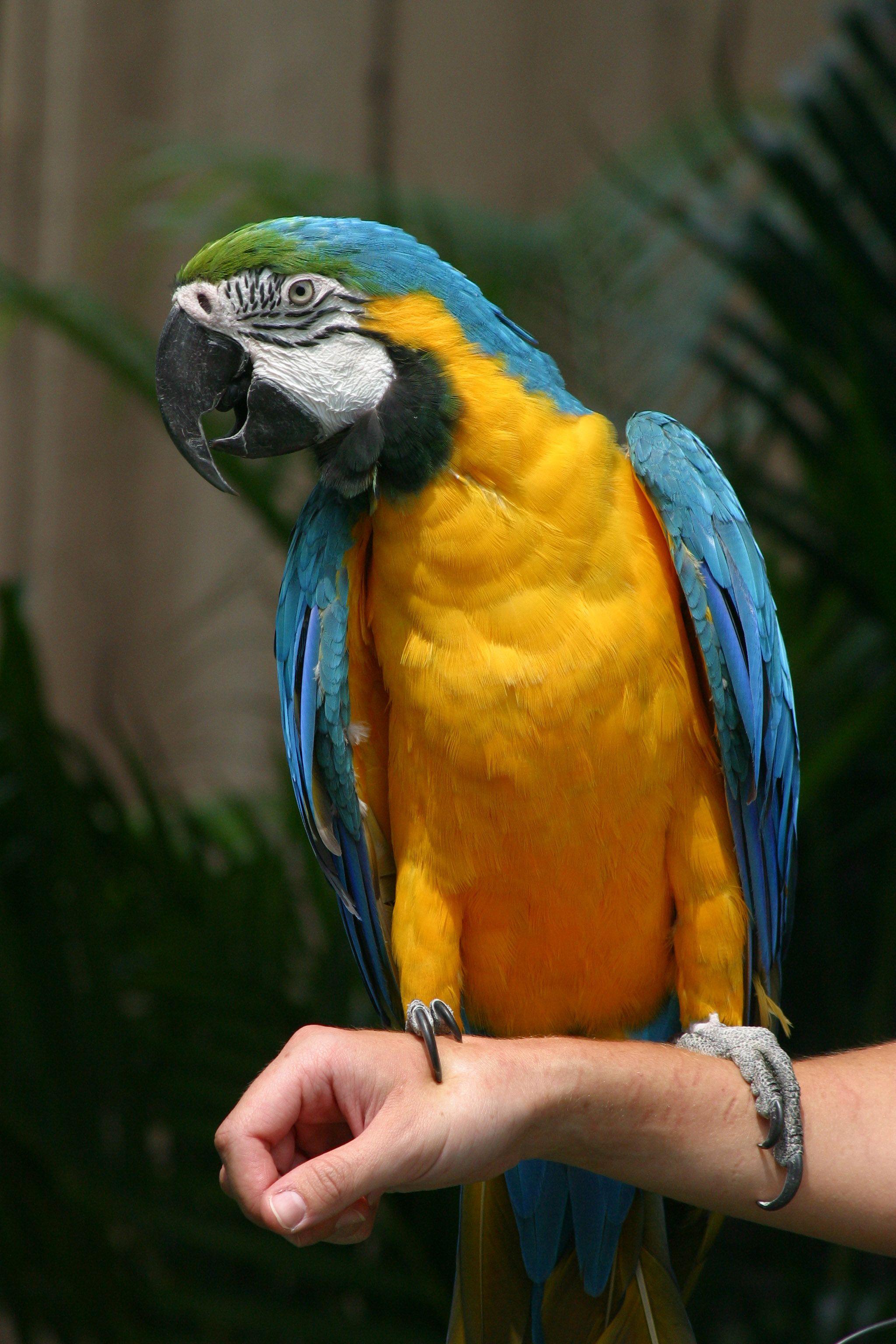 pin blue macaw bird - photo #15