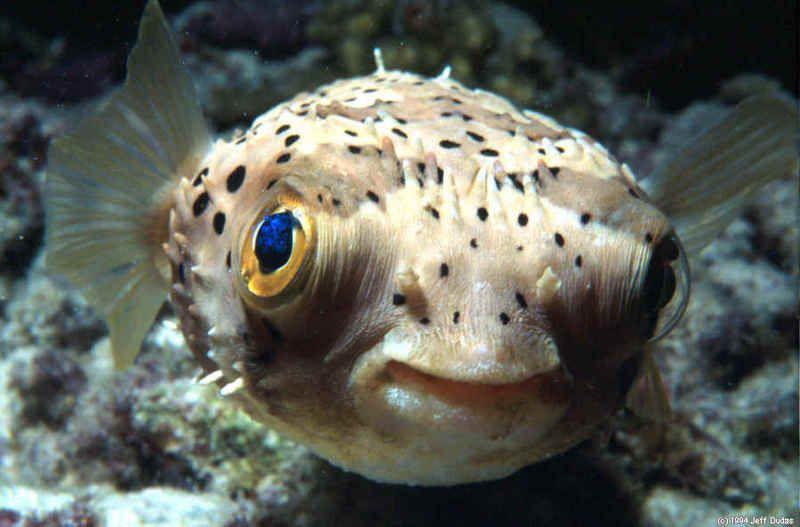 for Dwarf puffer fish