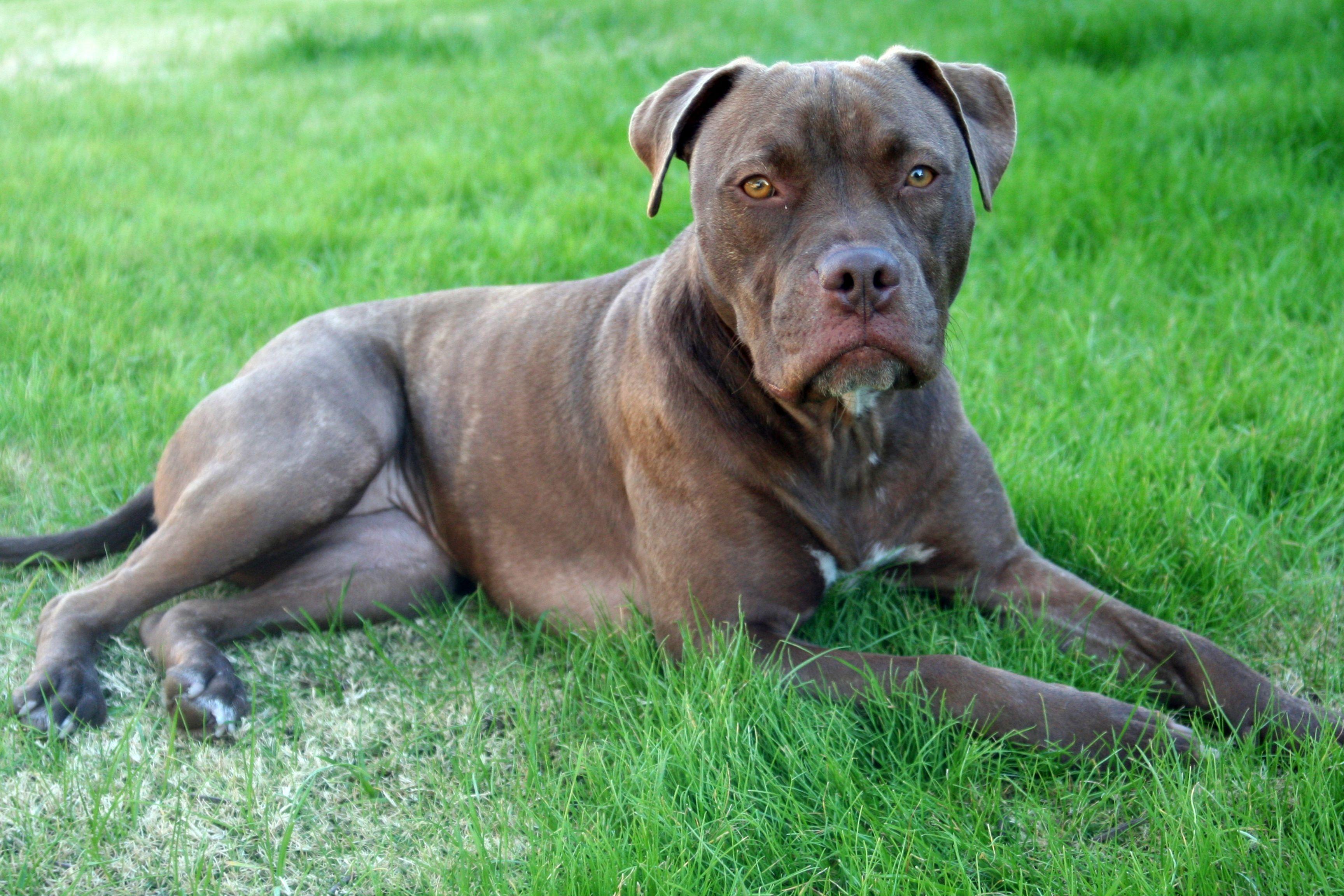 blue/red nose/brindle pitbull | PIT BULLS | Pinterest