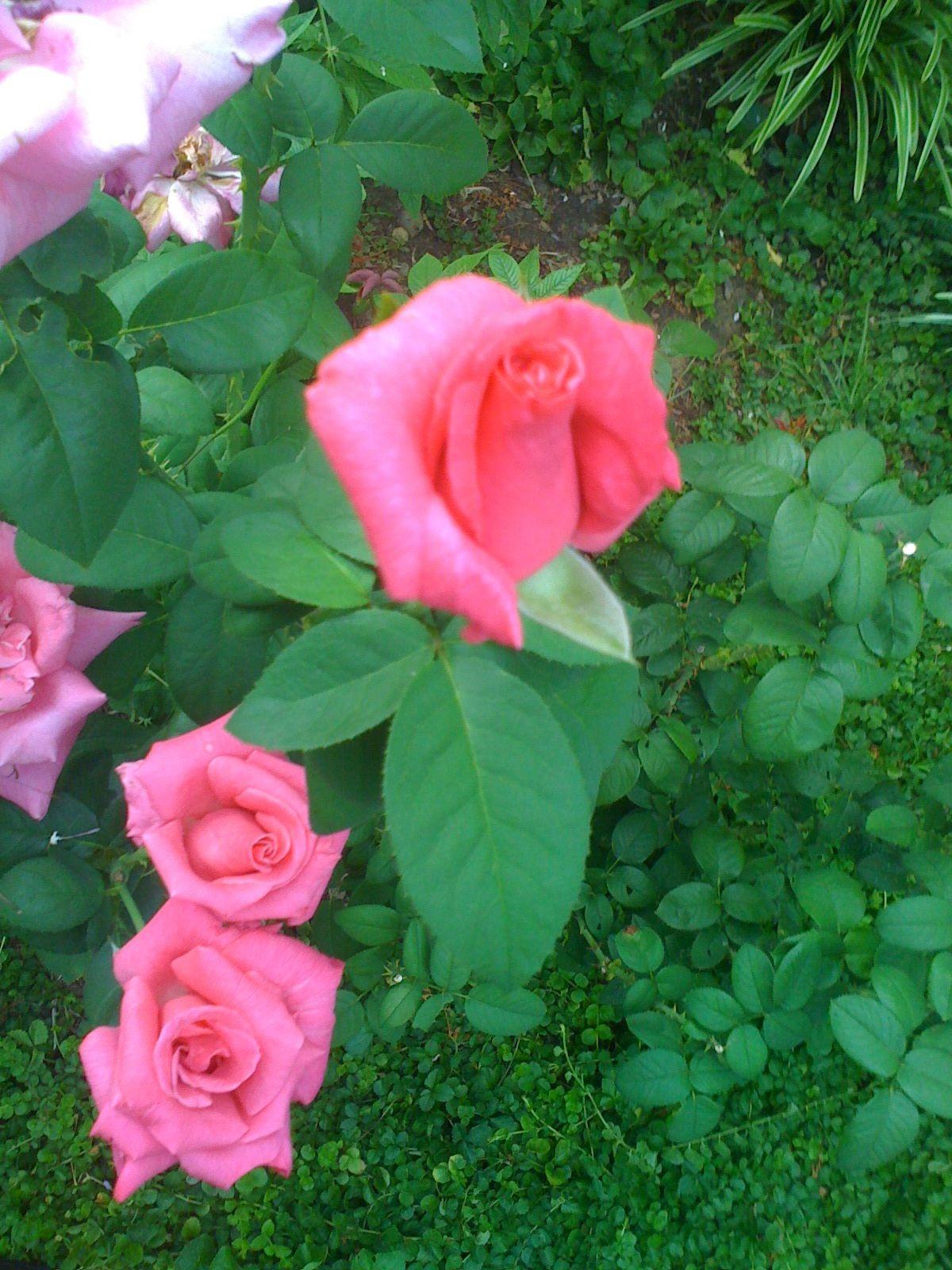 perfume delight hybrid tea rose plants flowers and