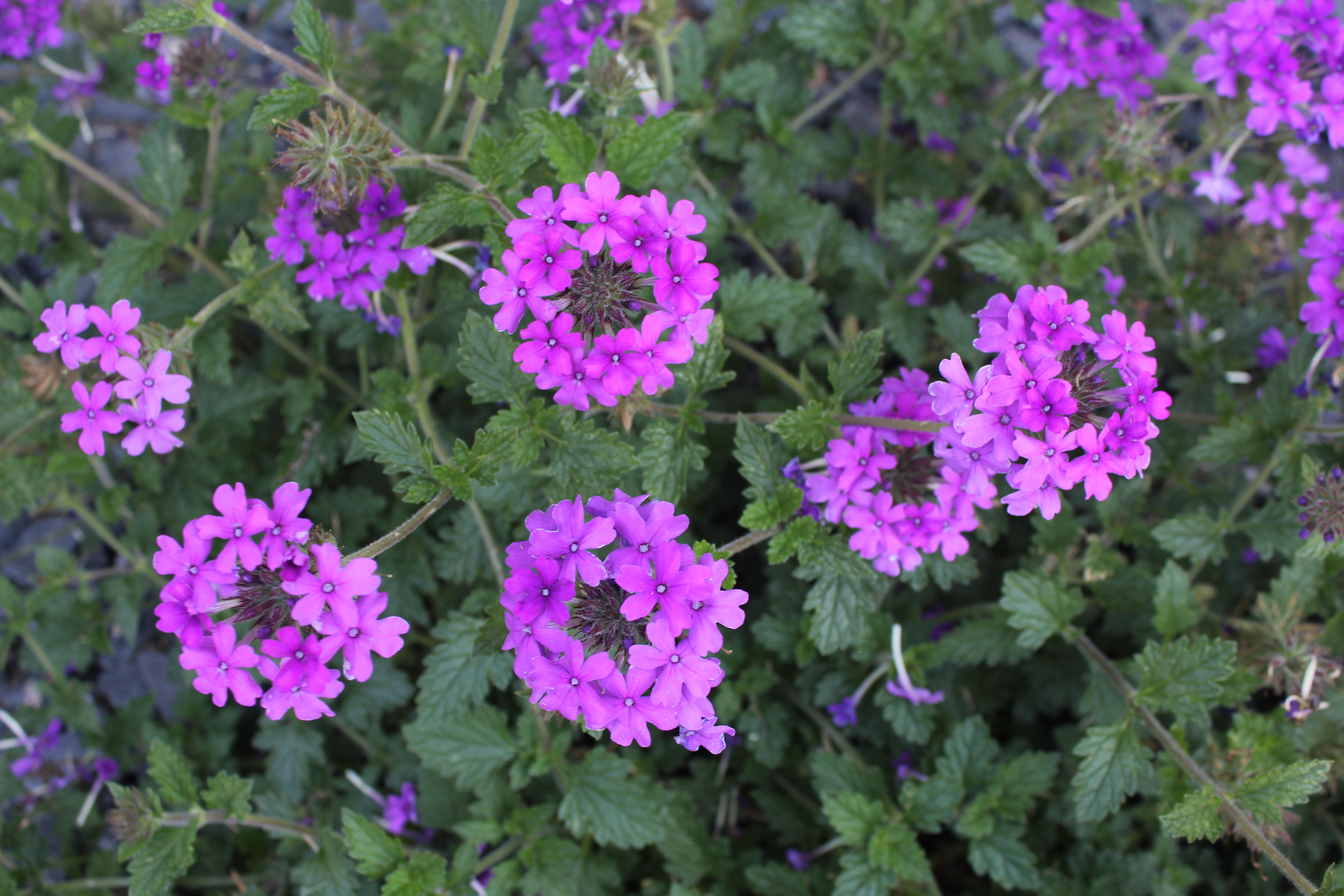 Homestead Purple Verbena My Flowers