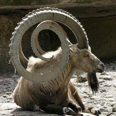 Alpine goats with horns - photo#9