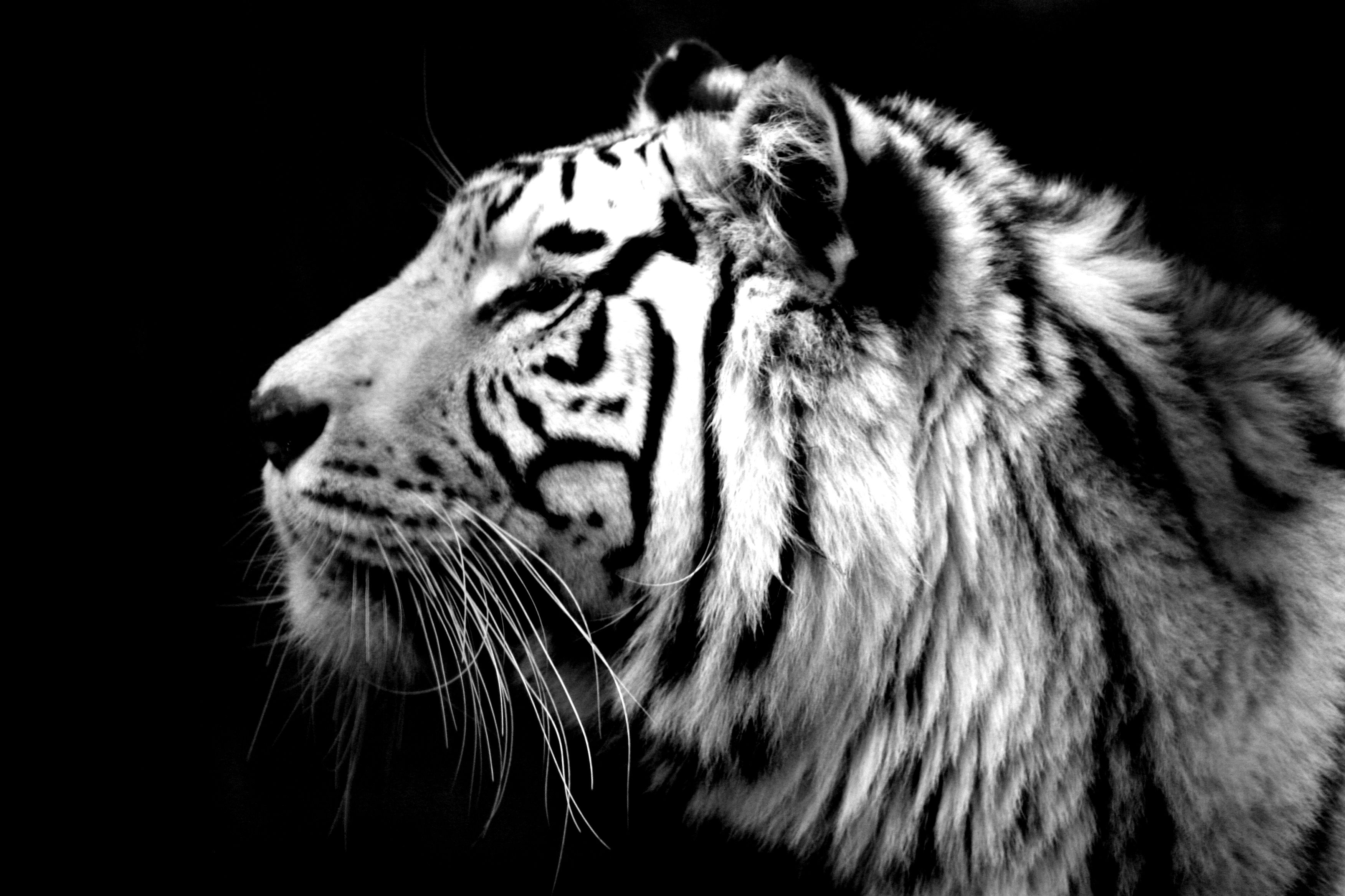 essay on white tigers