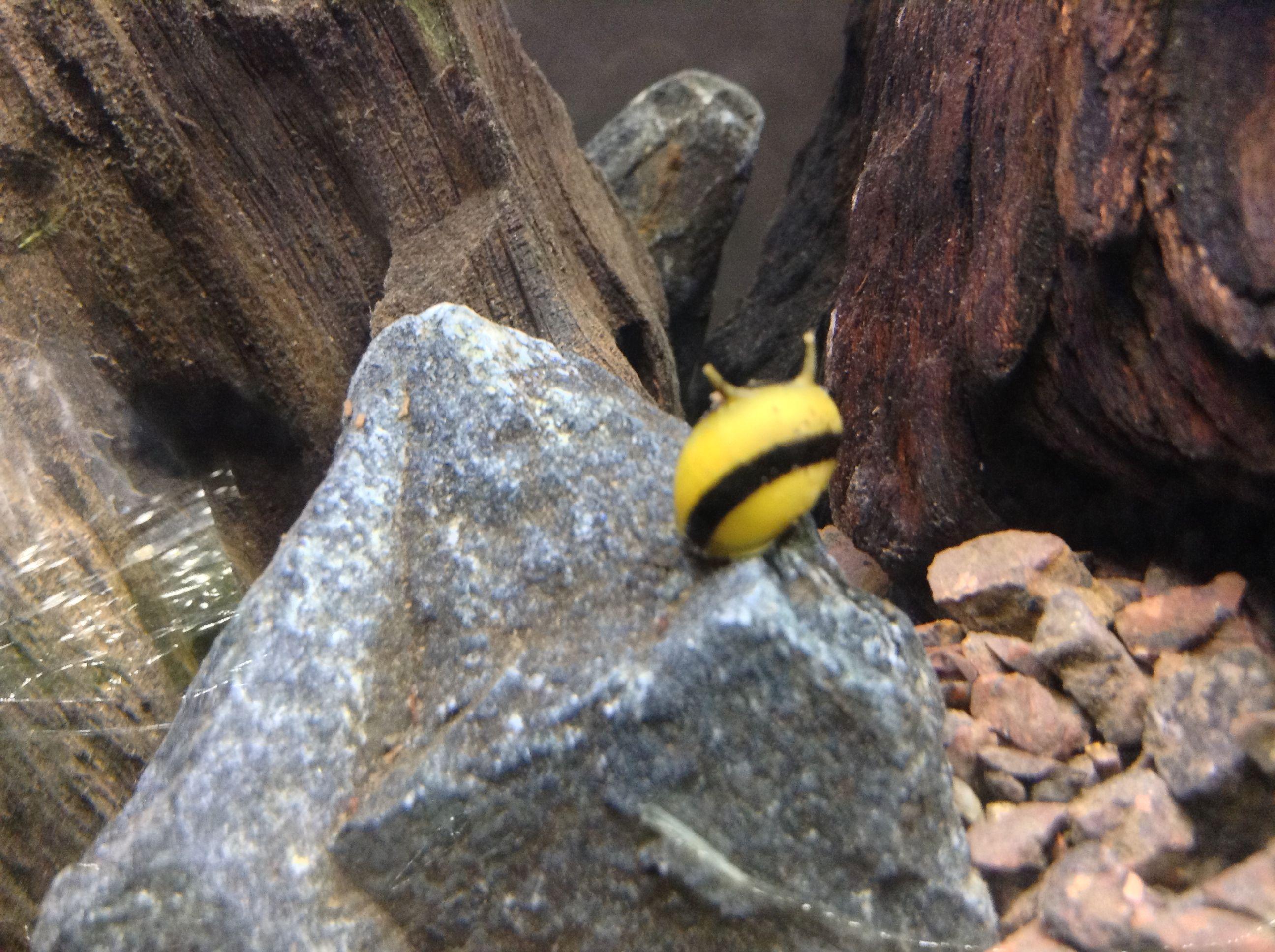 Horned nerite snail Aquatic Project: Hillstream Pinterest