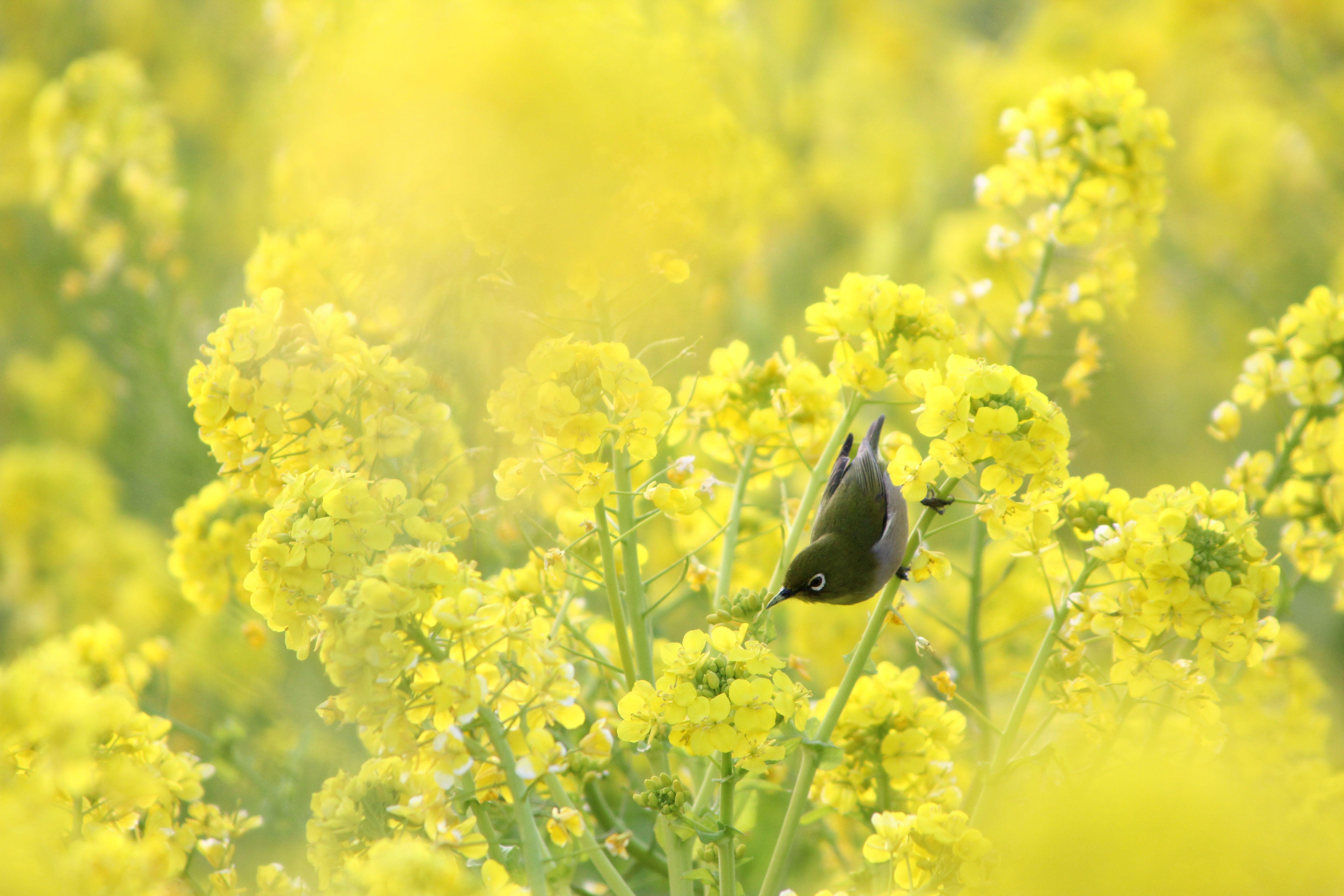 Pin Download-mustard-flower-field-wallpaper on Pinterest