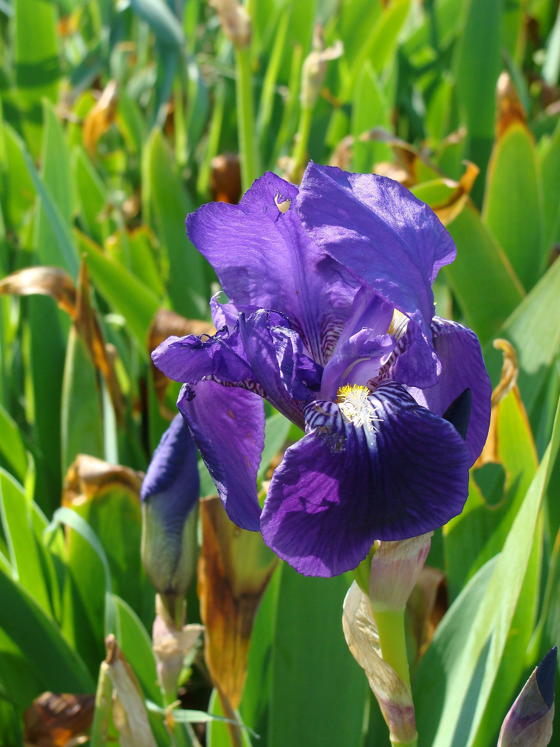 Pin Pin iris flower tattoo meaning read on to know more about pinterest on Pi