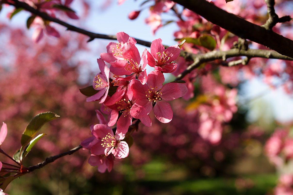 Pink Tree Blossoms Beautiful Nature Gardens Pinterest