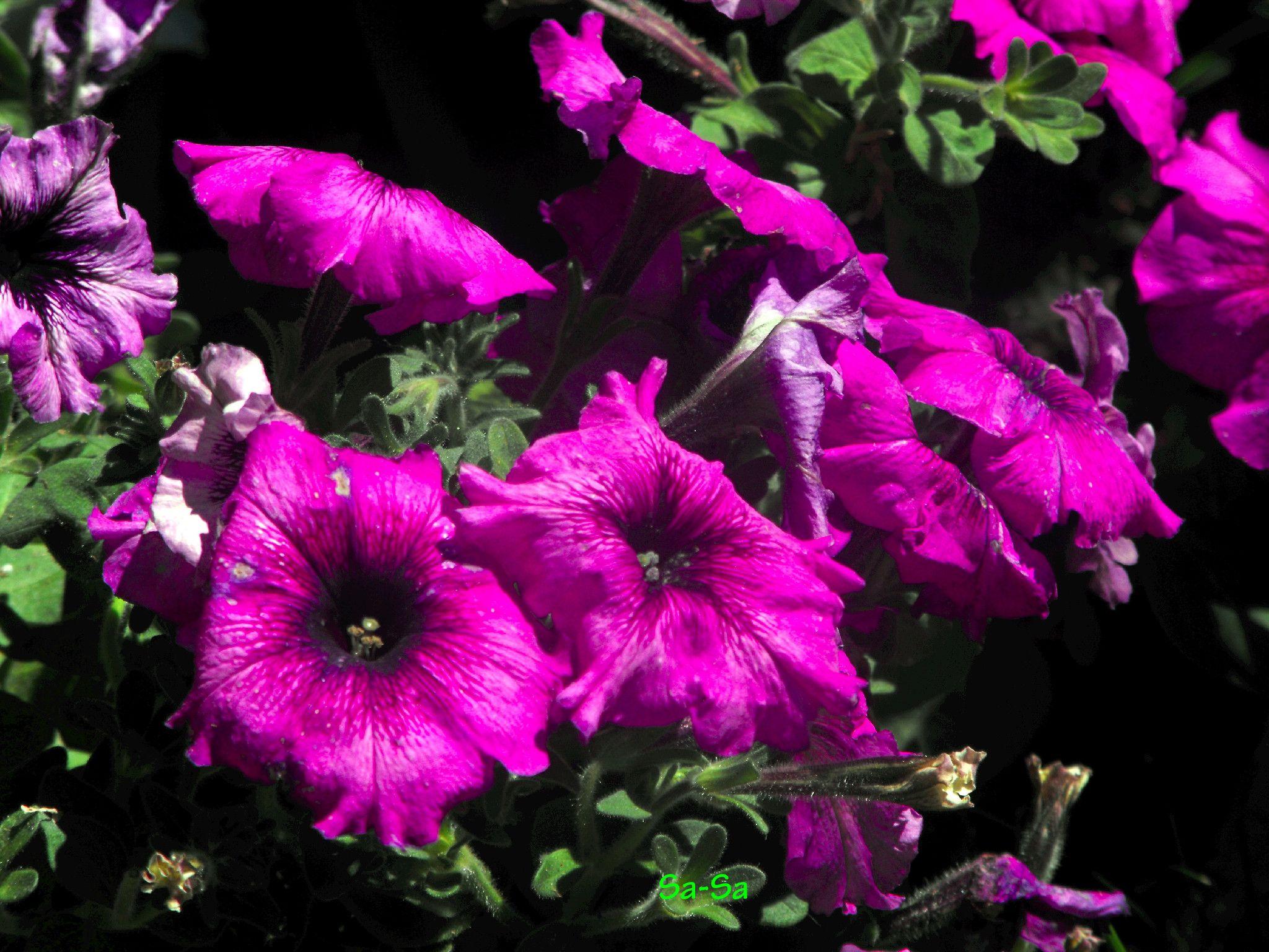 Purple Petunia | Les Fleur | Pinterest