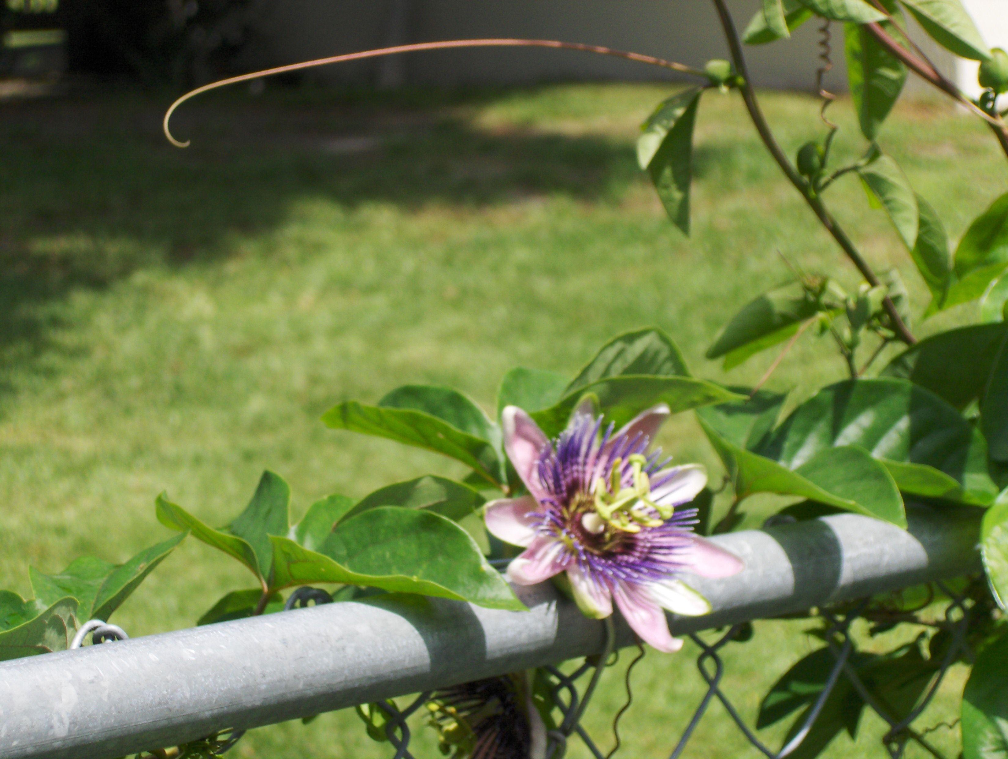 Purple passion vine Flowers & Plants