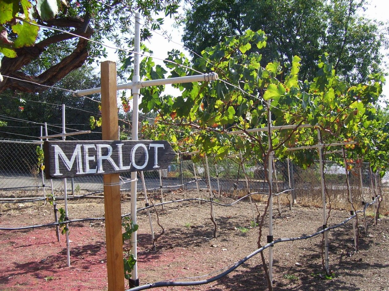 Backyard Vineyard Ideas : Merlot sign in a backyard vineyard  my green house and garden  Pint