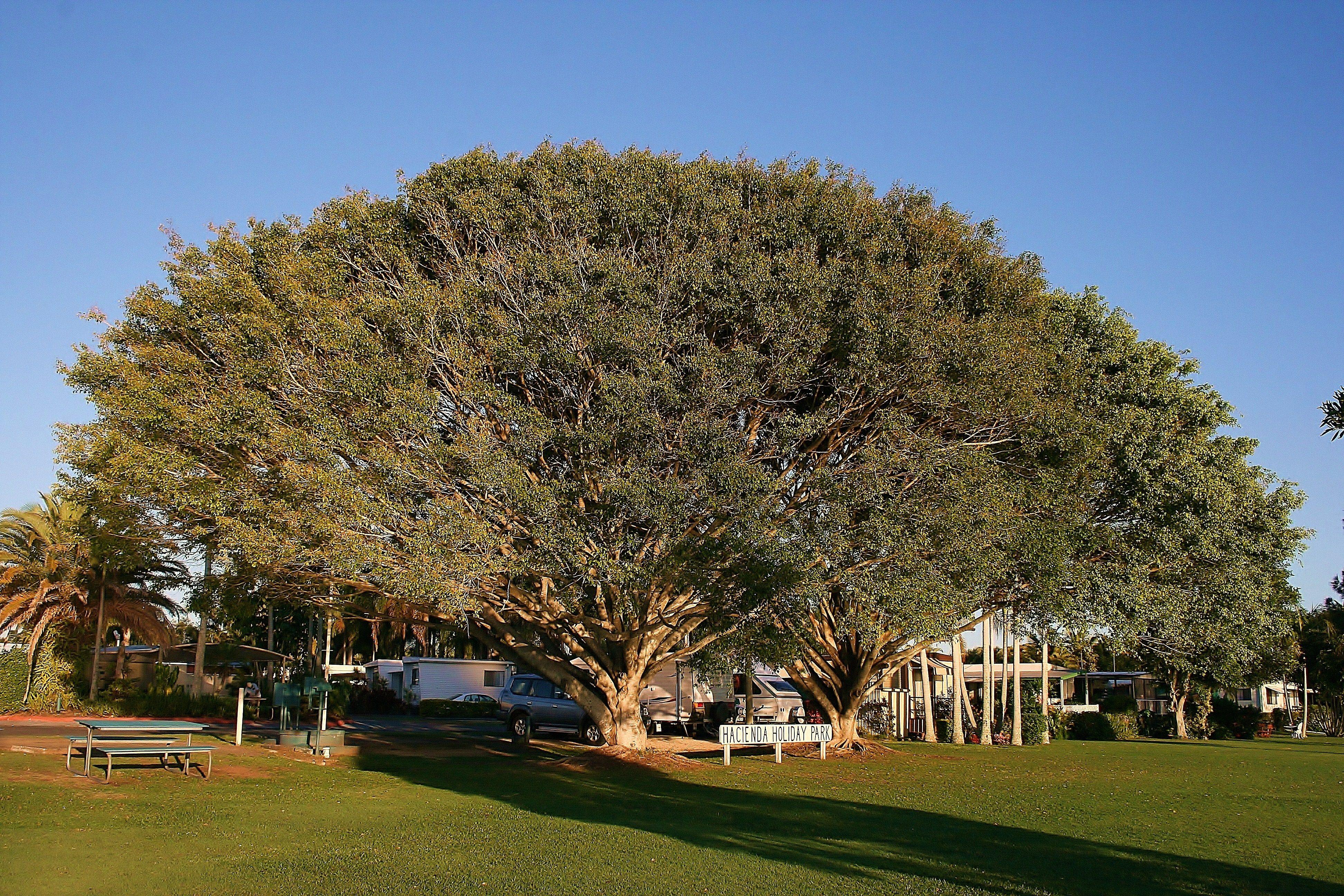 Figtree Australia  city photos gallery : Large fig tree Australia | David Allen, photographer | Pinterest