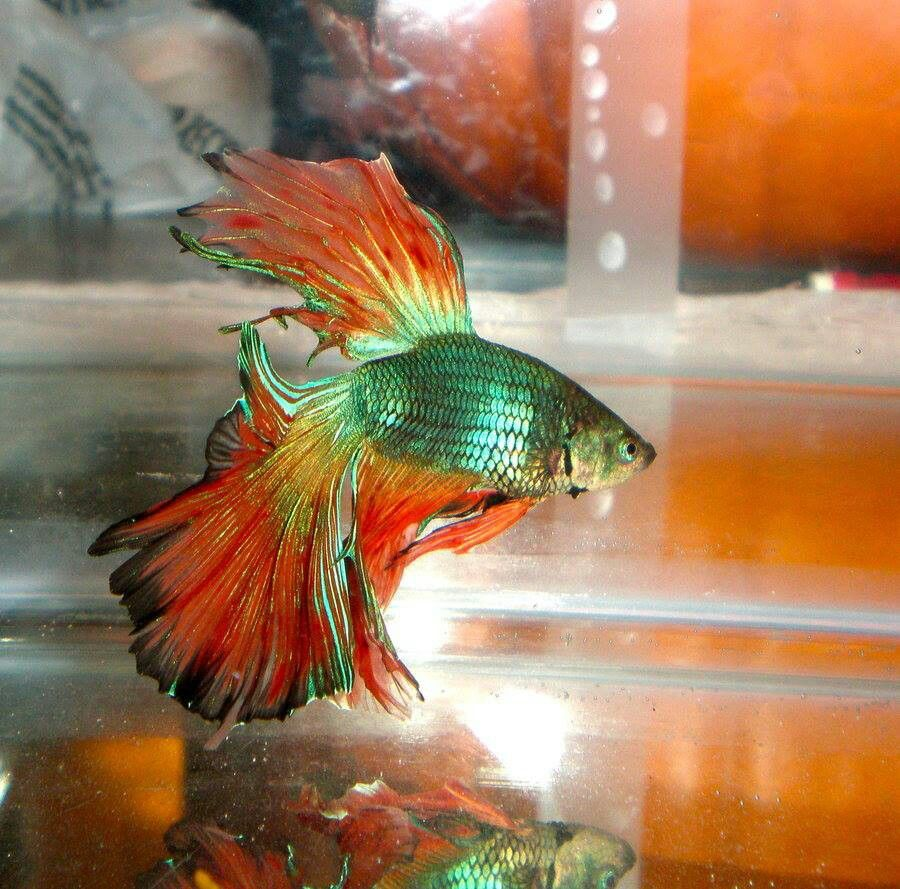 Beautiful rose tail betta fish pinterest for Fish and tails