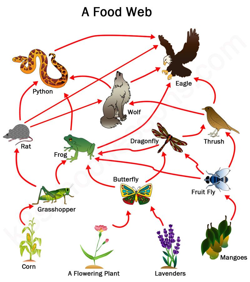 Food Chains and Food Webs covers KS2 science Food Chains and Food ...