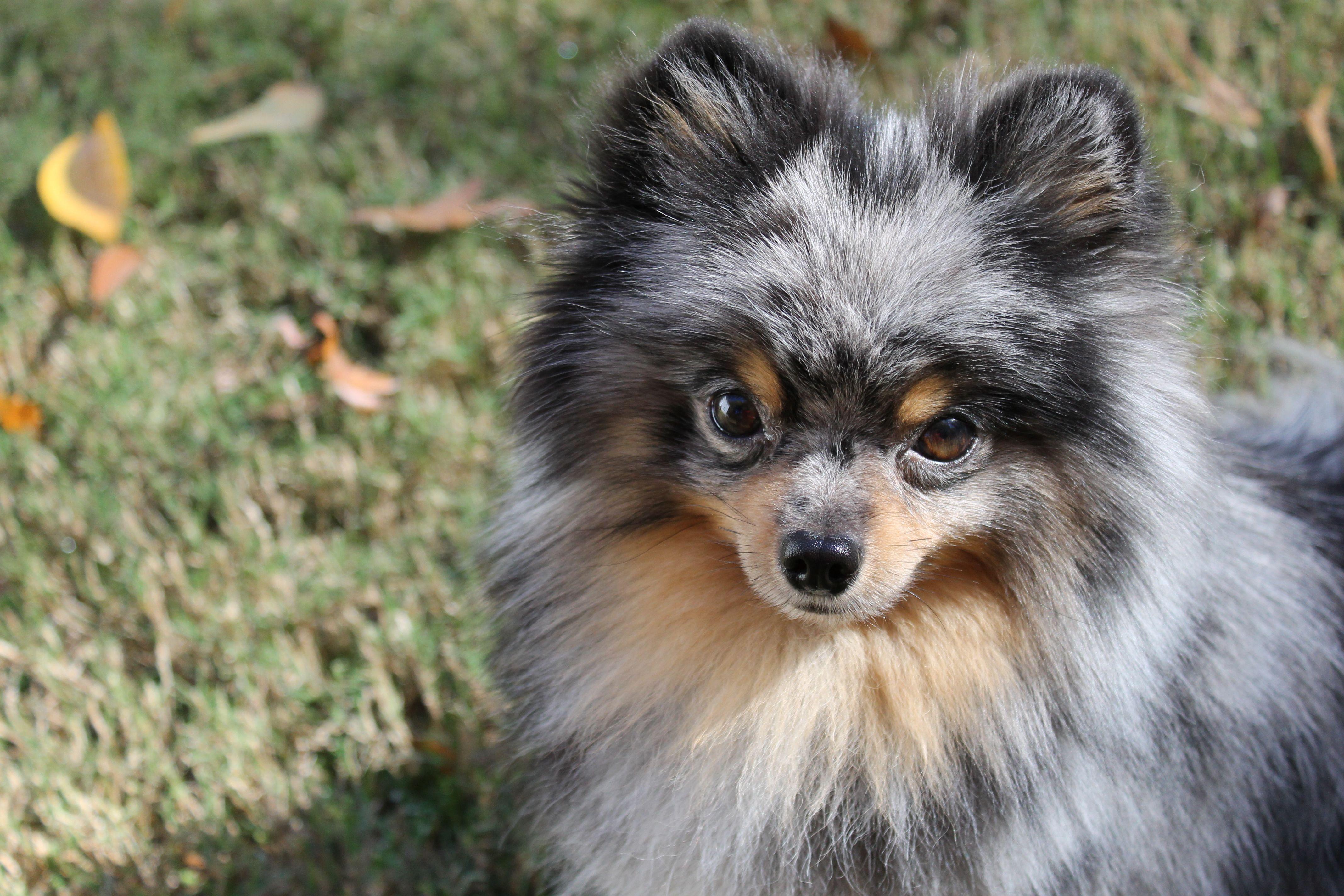 Blue Merle Pomeranian | Pomeranian | Pinterest