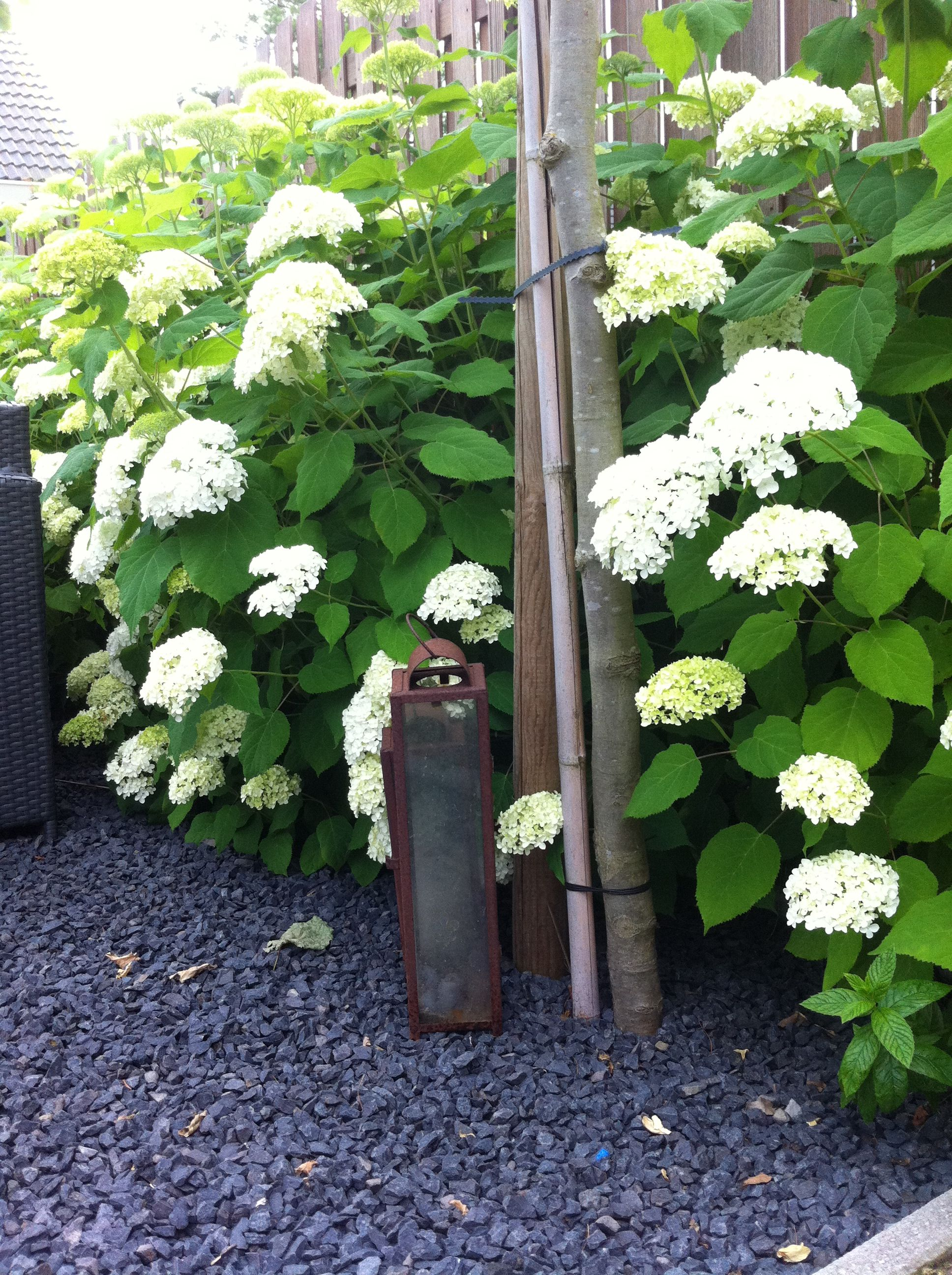 hortensia annabelle garden flowers pinterest. Black Bedroom Furniture Sets. Home Design Ideas