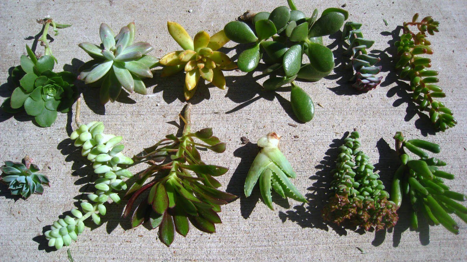 Plantes grasses plantes grasses pinterest for Plante grasse