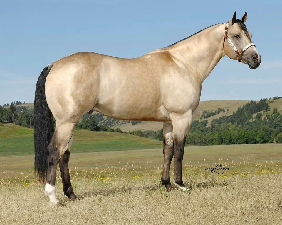 Buckskin Dun Quarter Horse