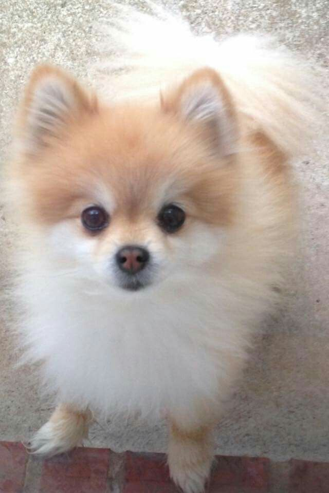 ポメラニアン 可愛い 犬