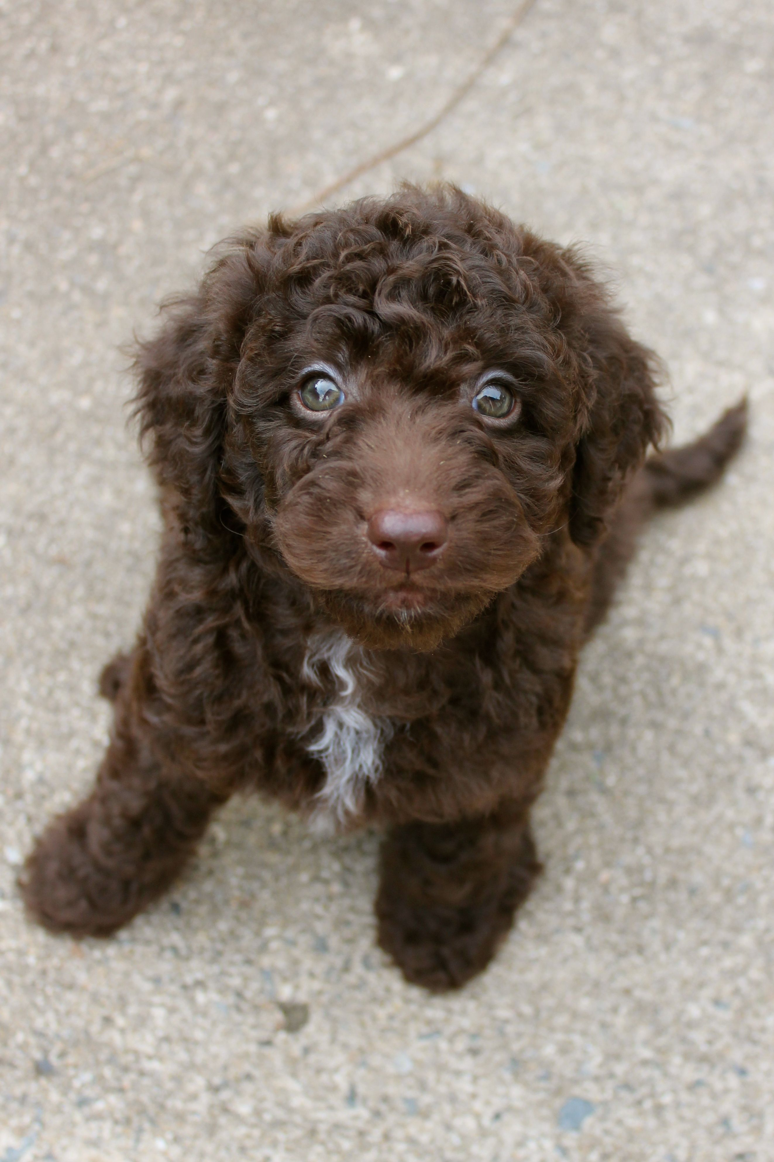 Mini Chocolate Labradoodle | Cures For a Bad Day | Pinterest