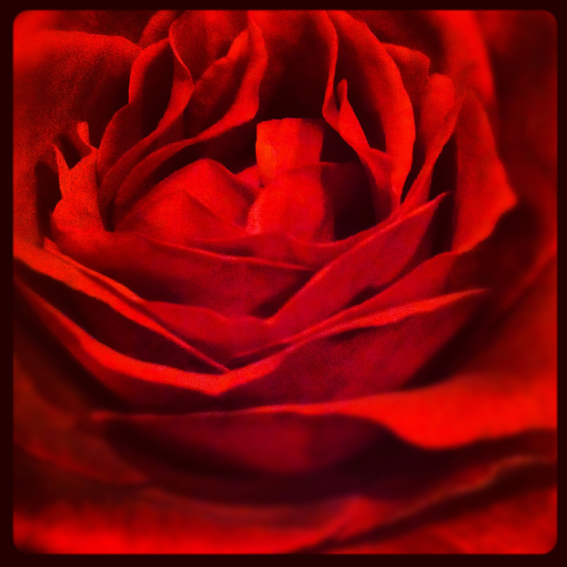 Red rose cool stuff pinterest for Cool things to do with roses