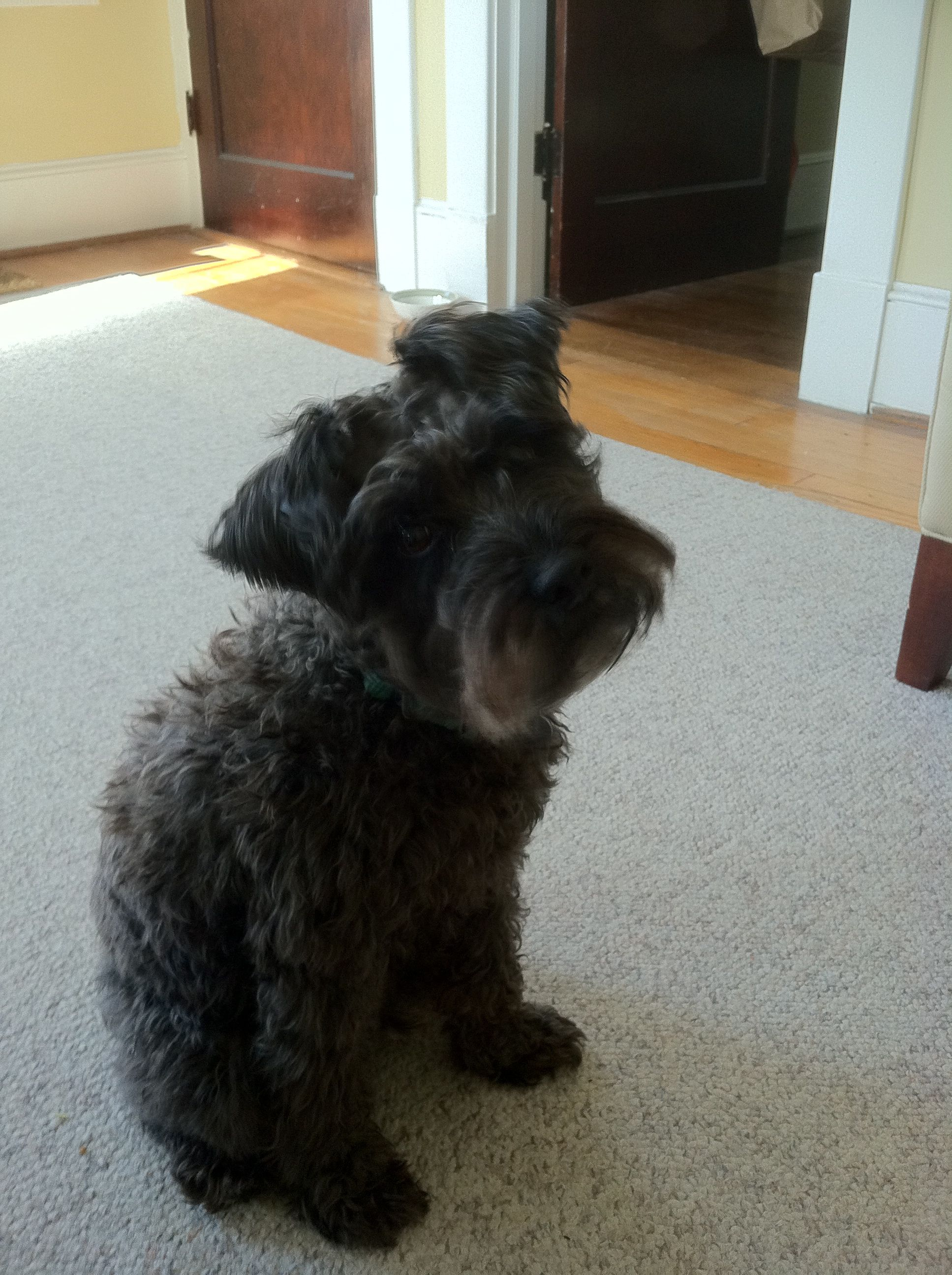 schnoodle baby | Schnoodle | Pinterest
