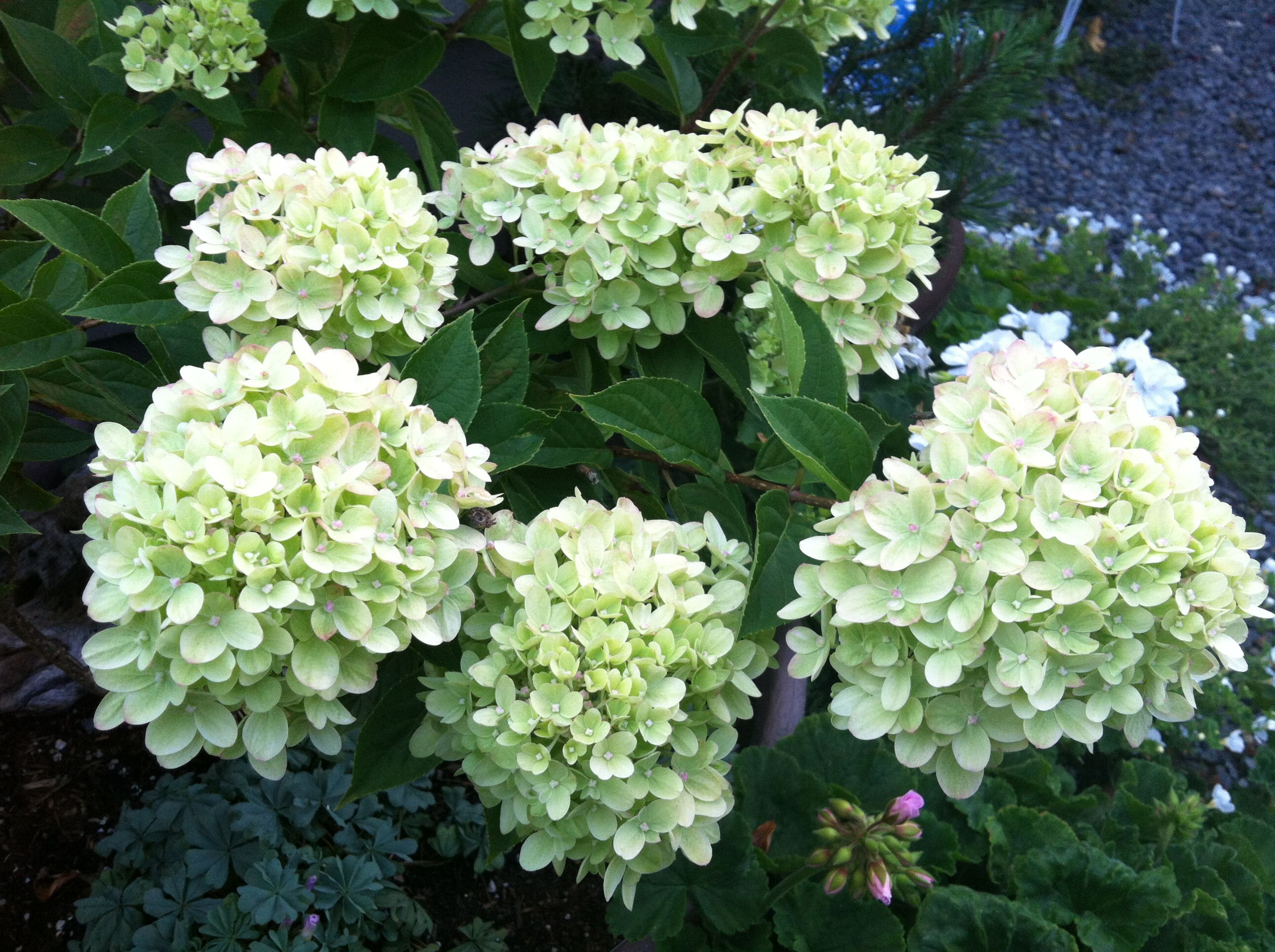 Limelight hydrangea flowers and gardens and patios for Limelight hydrangea