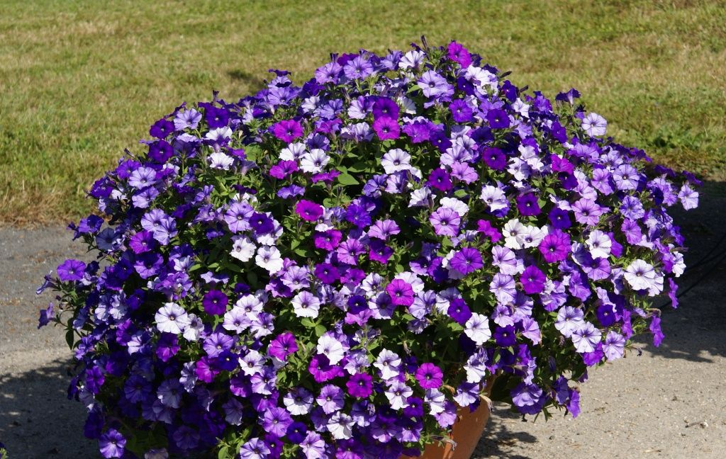 Wave petunia in france container garden 2013 part 2 - Wave petunias in containers ...