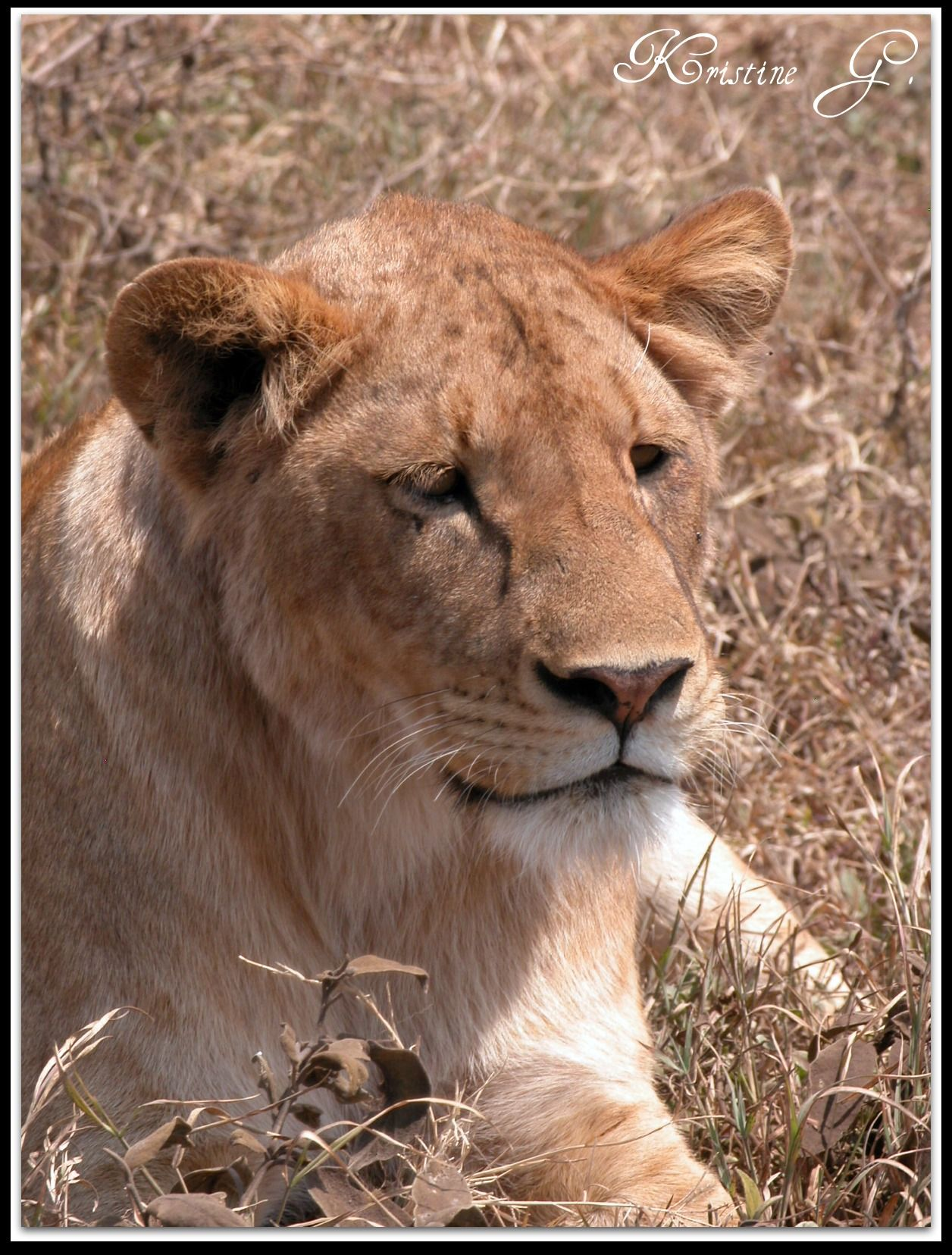 Lioness And Fas...