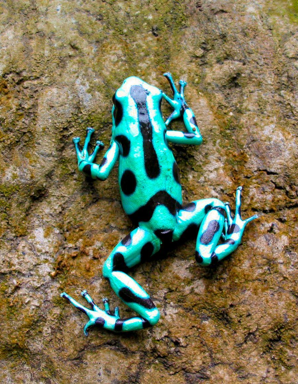green poison dart frog | frogs | Pinterest
