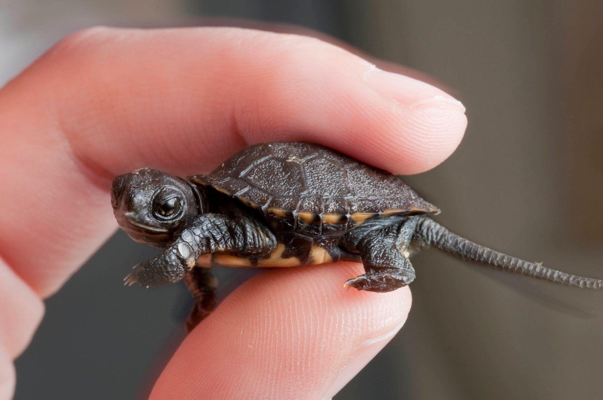 cute baby turtle turtles pinterest