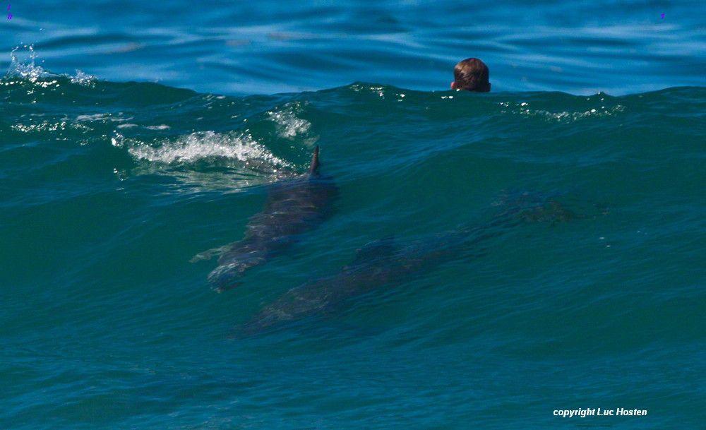 Great white shark atta...