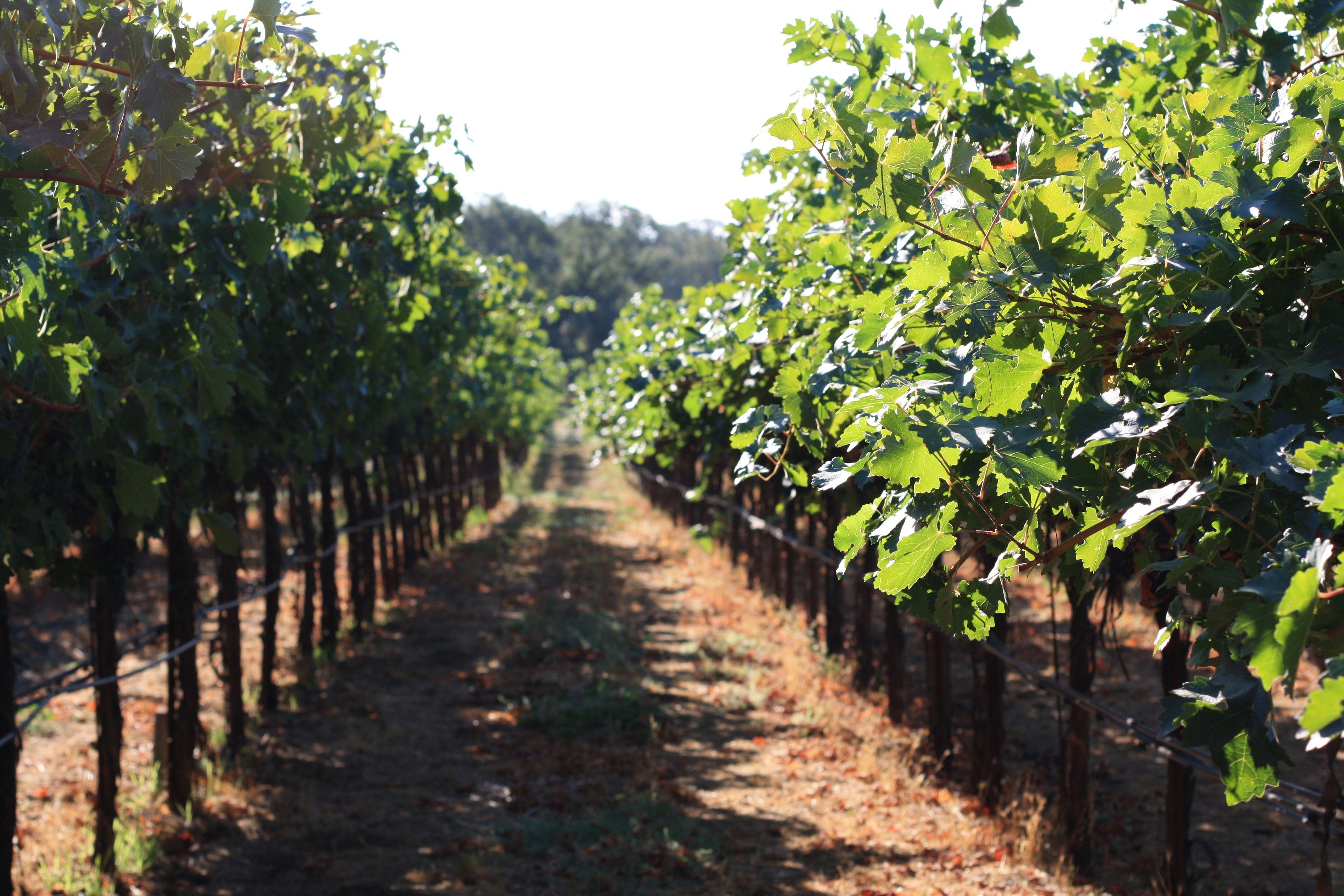 Napa grapes | Cheers! | Pinterest