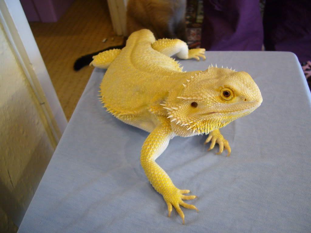 Citrus bearded dragon