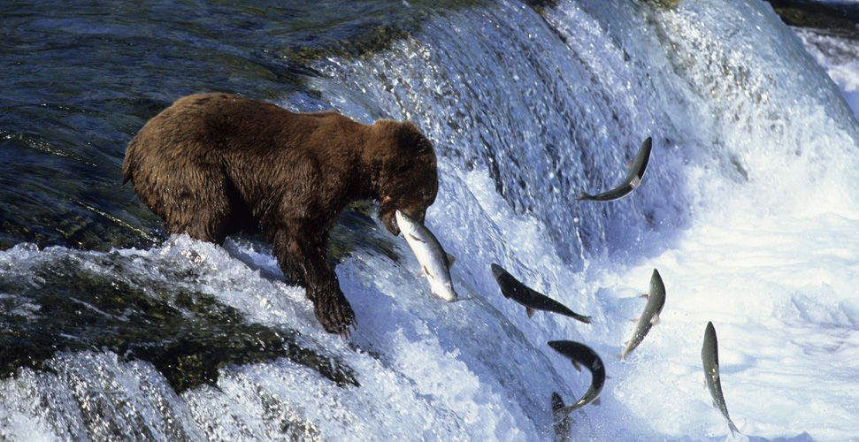 Bear catching fish lions tigers bears oh my pinterest for Bear catching fish