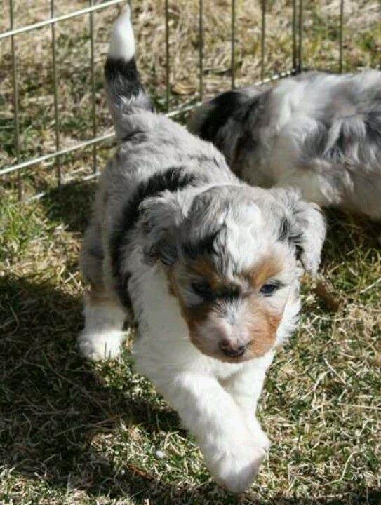 Australian Shepherd Lab Mix Full Grown blue heeler poodle mix...