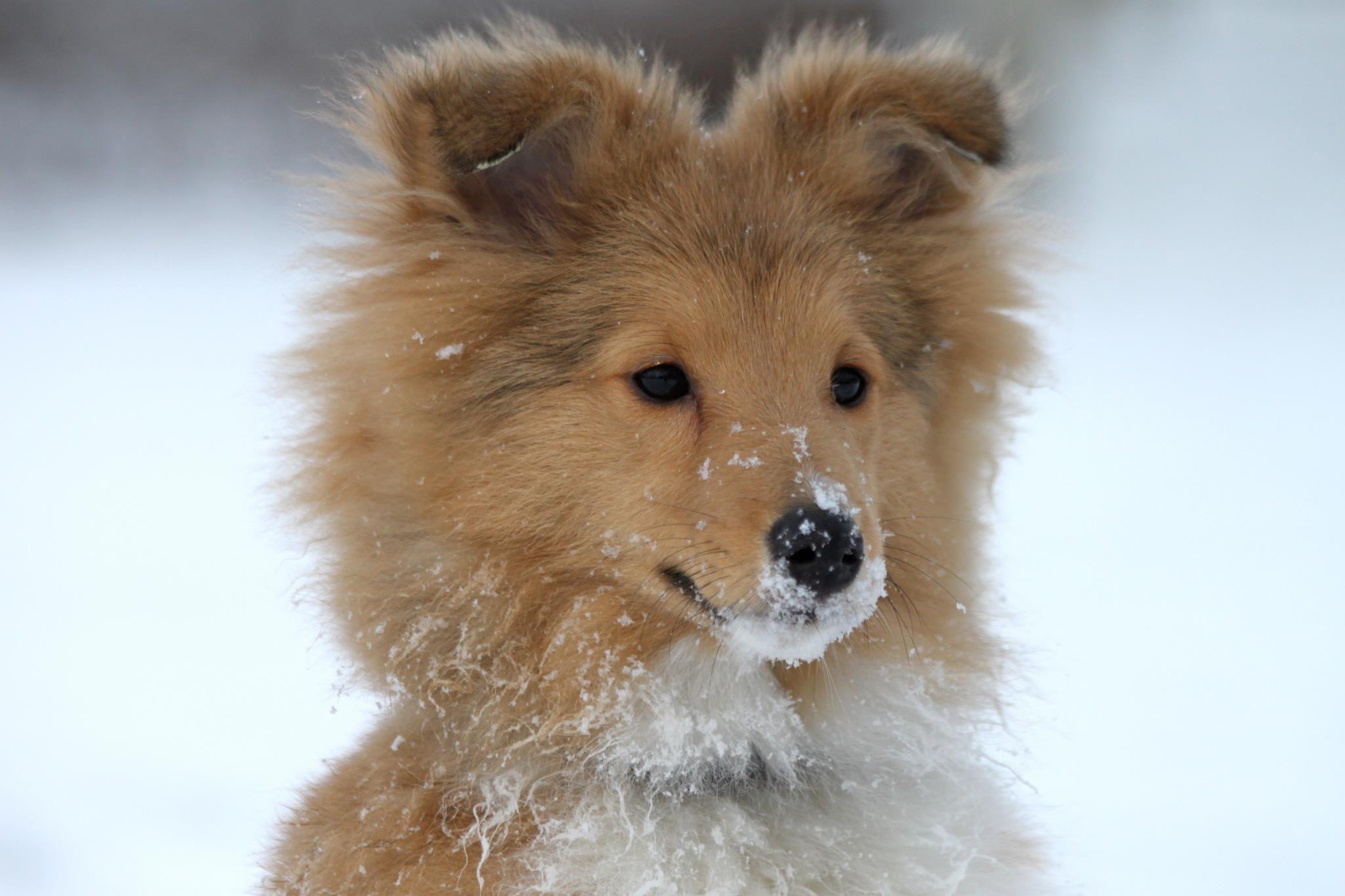 Miniature Sheltie Shetland Sheepdog | Dog Breeds Picture