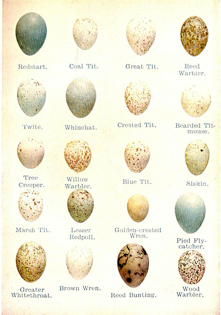 Sparrow Eggs Identification Www Imgarcade Com Online