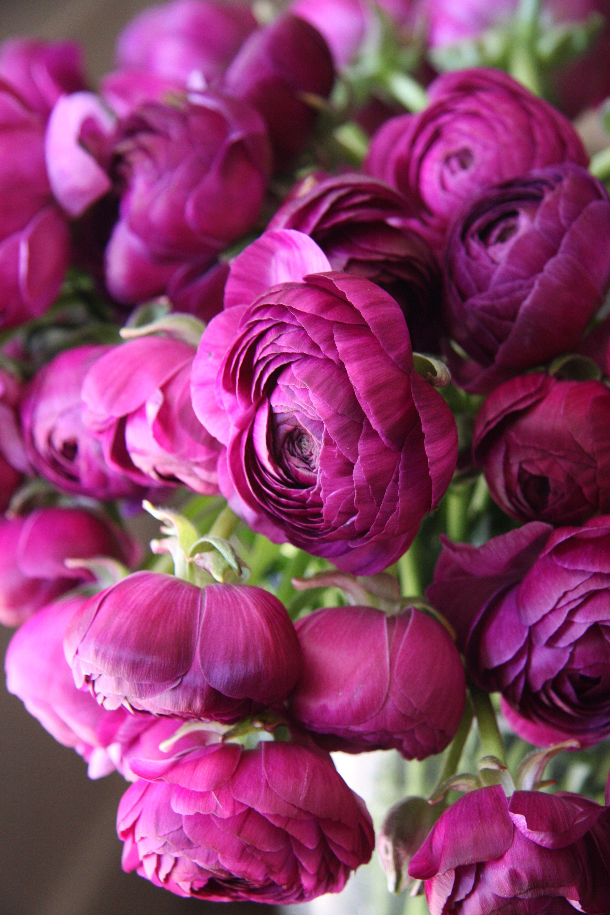 ranunculus M purple Flowers