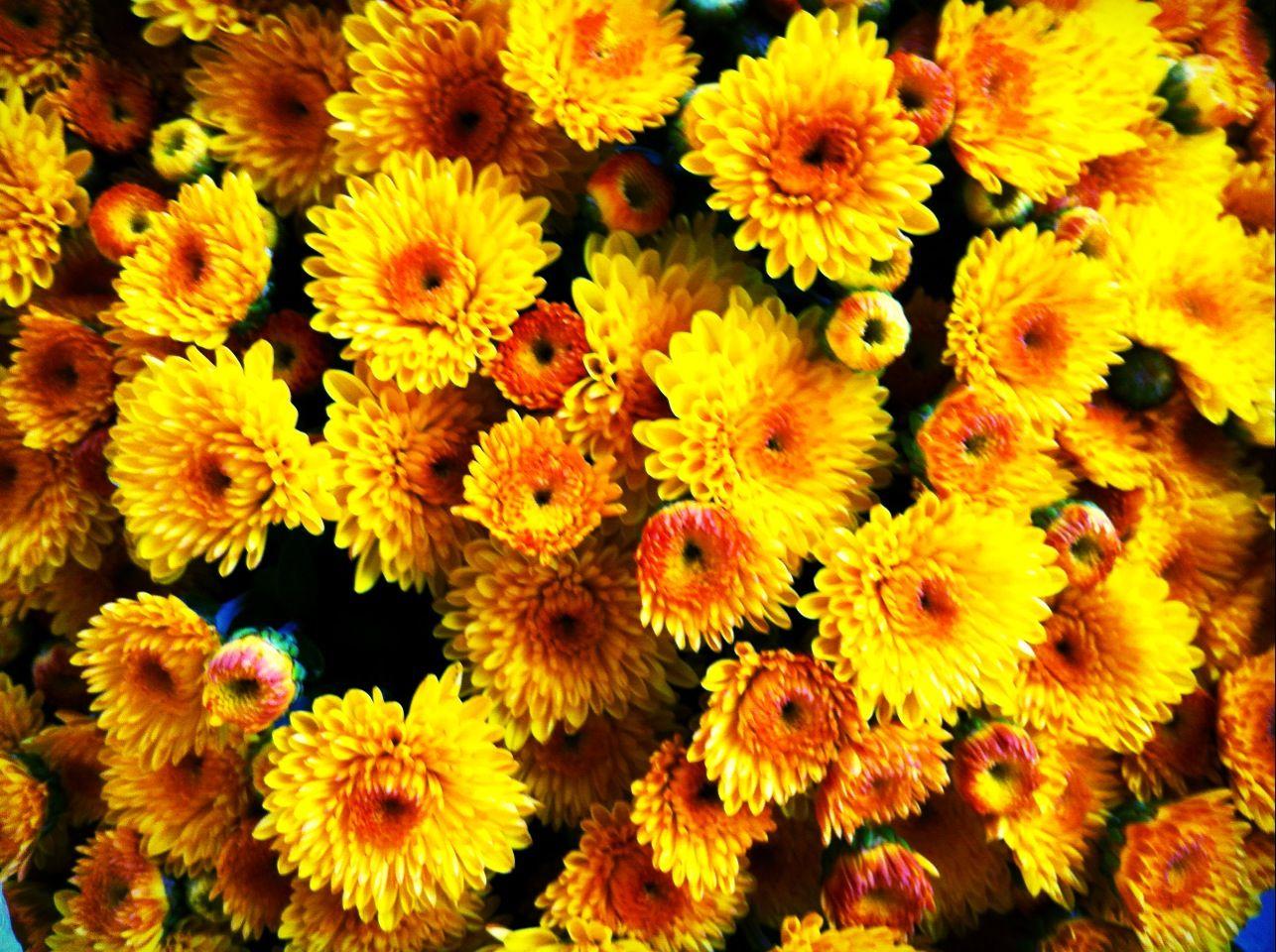 Fall Mums Flowers Mums
