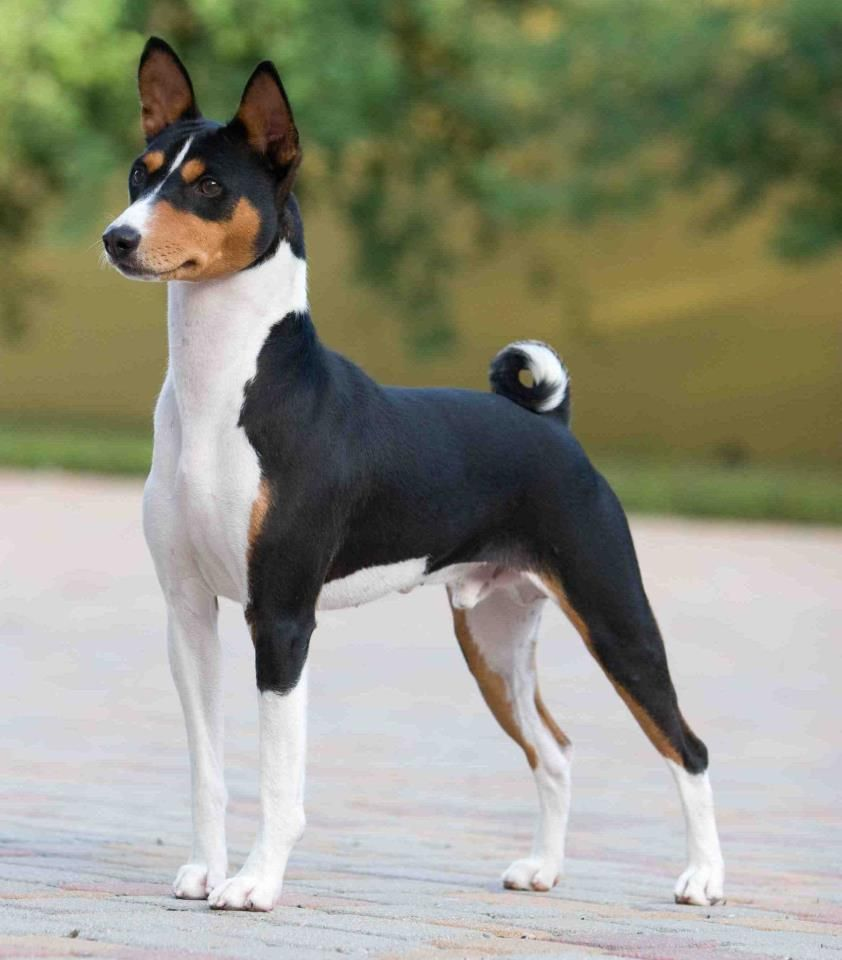 What A Beauty Basenji I Love Dogs Pinterest