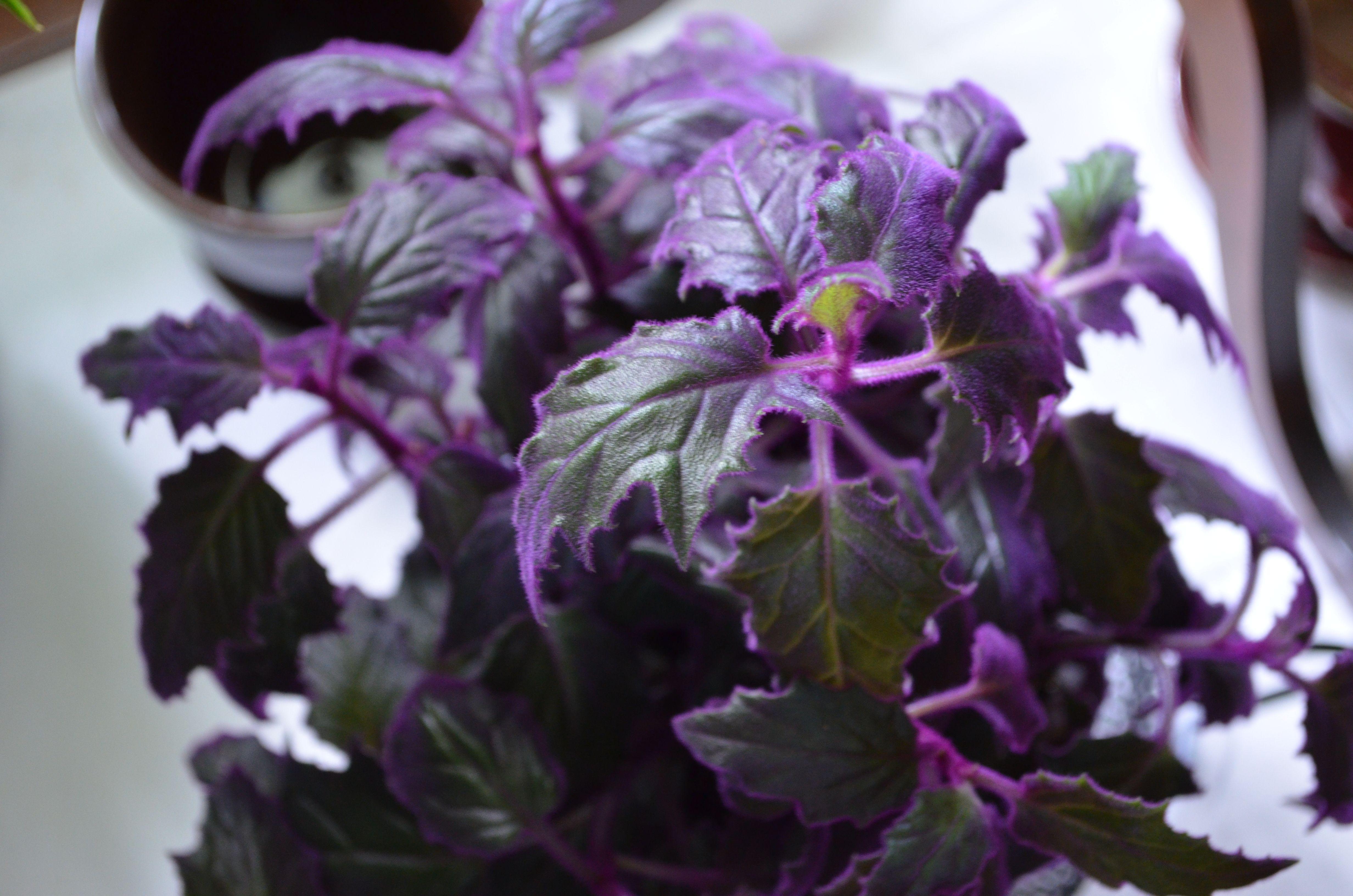 Purple Passion Plants The House