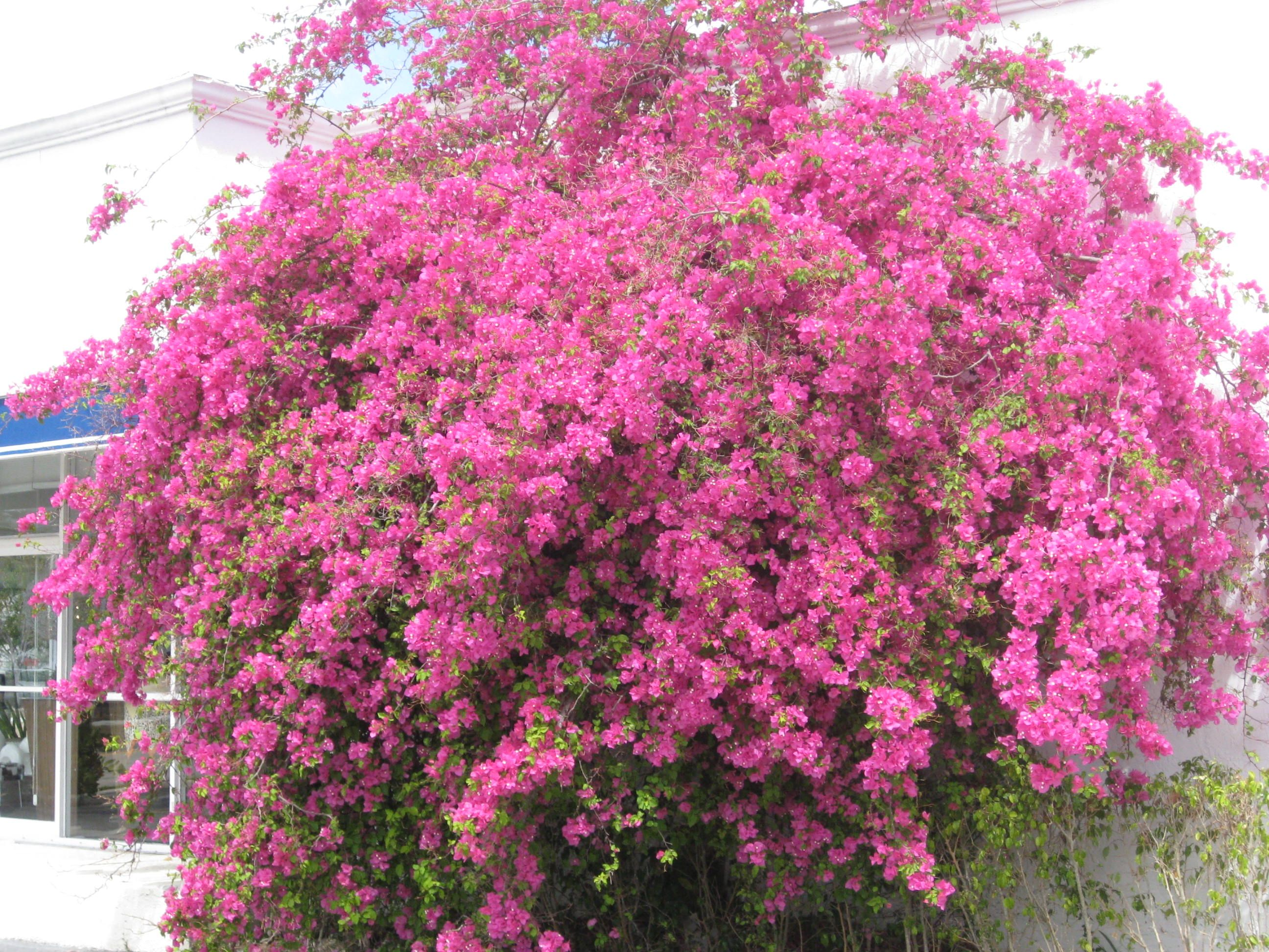 BOUGAINVILLEAS | SOUTH FLORIDA FLOWERS AND NATIVE PLANTS ...