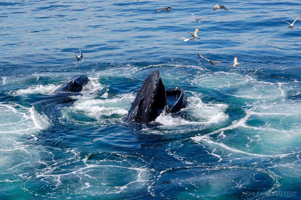 Humpback Whales feeding | Whales | Pinterest