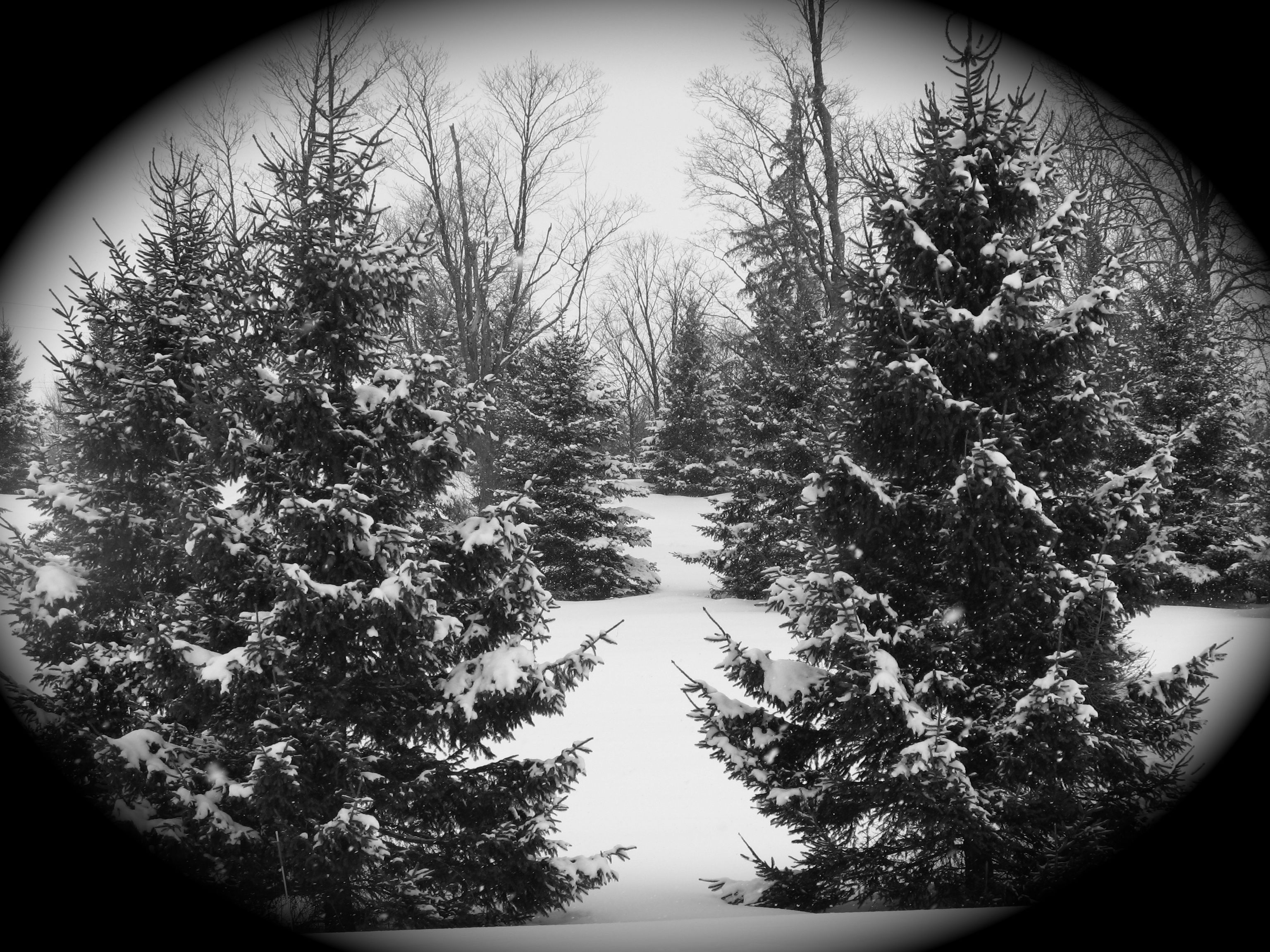 Pine trees in winter.   Pine trees   Pinterest Pictures Trees In Winter Pinterest