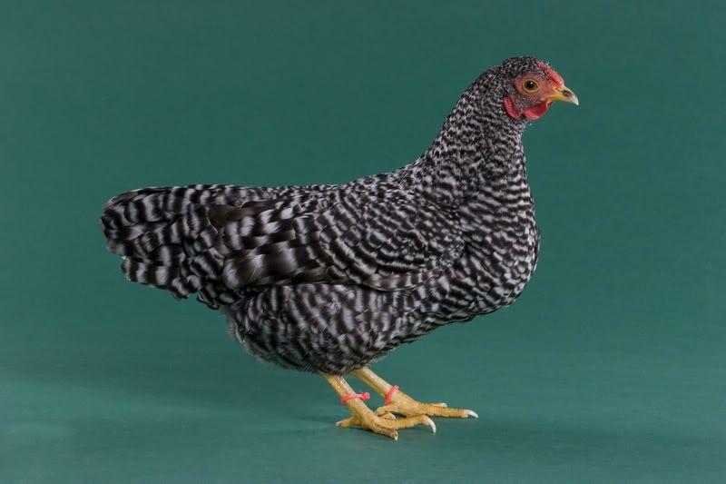 Dominique chickens - photo#18
