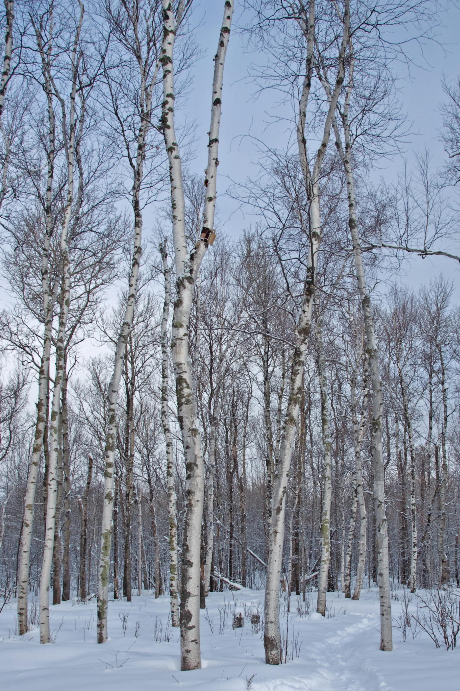 birch trees in winter   Painting Party   Pinterest Pictures Trees In Winter Pinterest