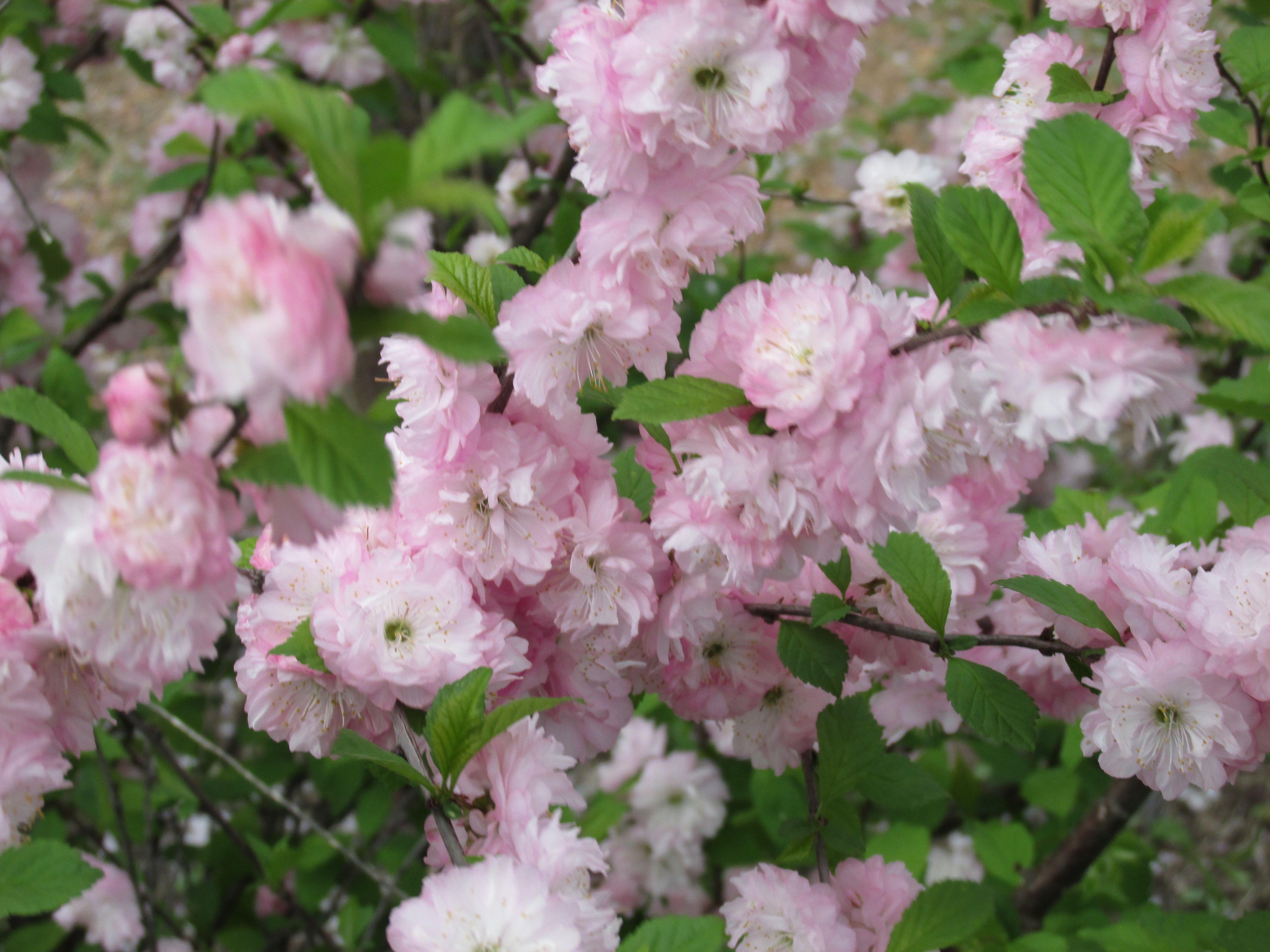 Flowering Almond Bush Home